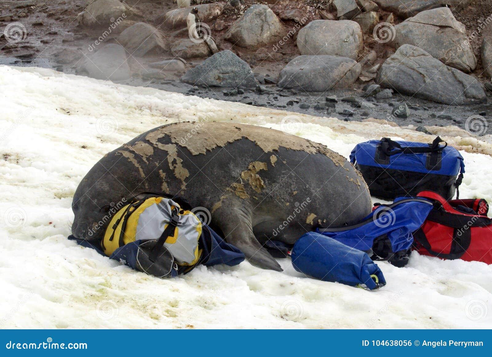 Download De Jonge Olifantsverbinding In Ruit Op Duffel Zakken Stock Foto - Afbeelding bestaande uit antarctisch, zuiden: 104638056