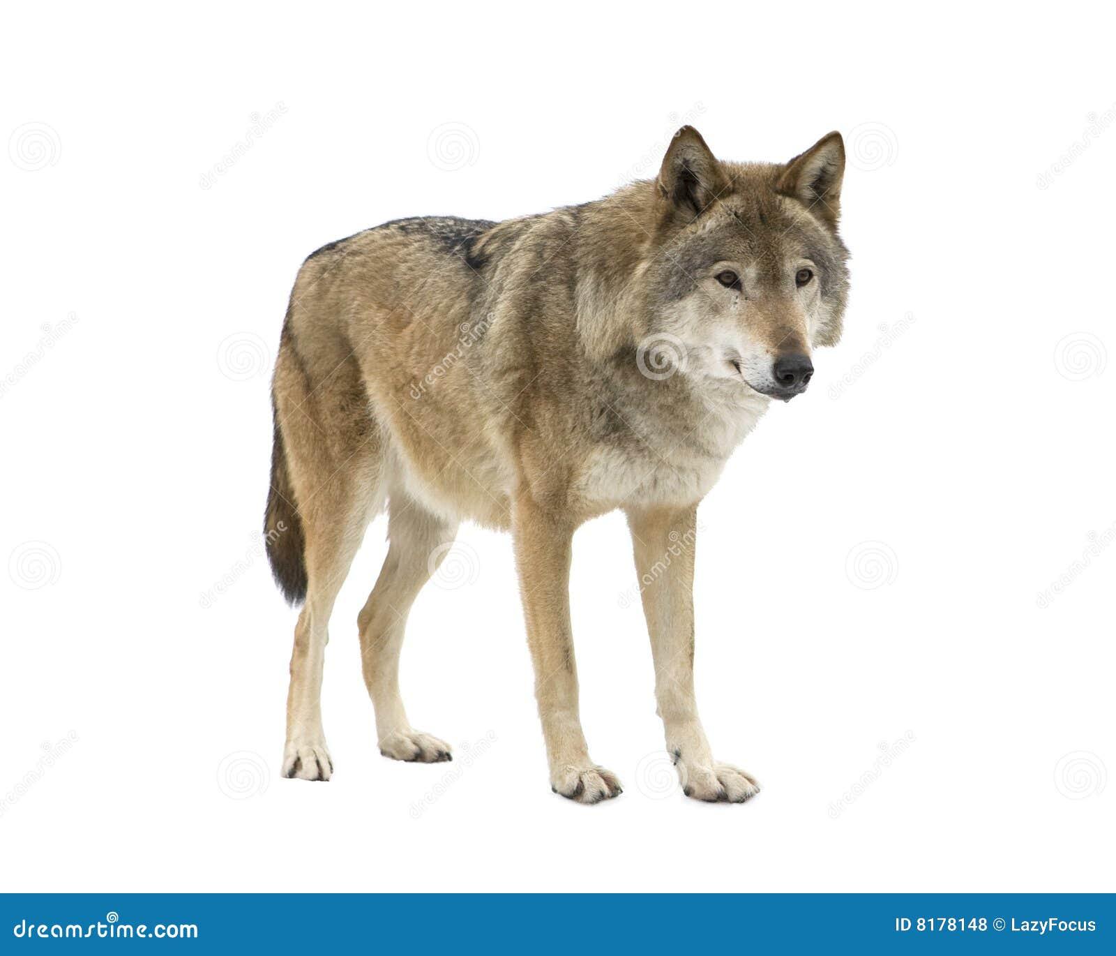 De jonge wolf die bij zijn staart bidt. Geïsoleerdo.