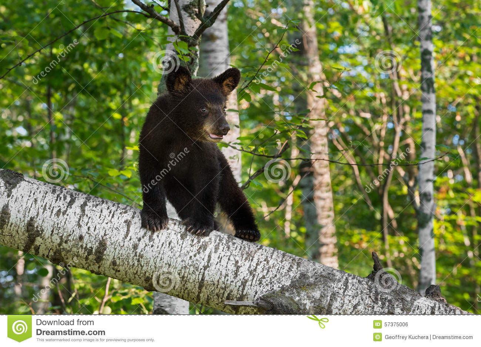 De jonge Zwarte draagt Welp (americanus Ursus) Tribunes op Berktak