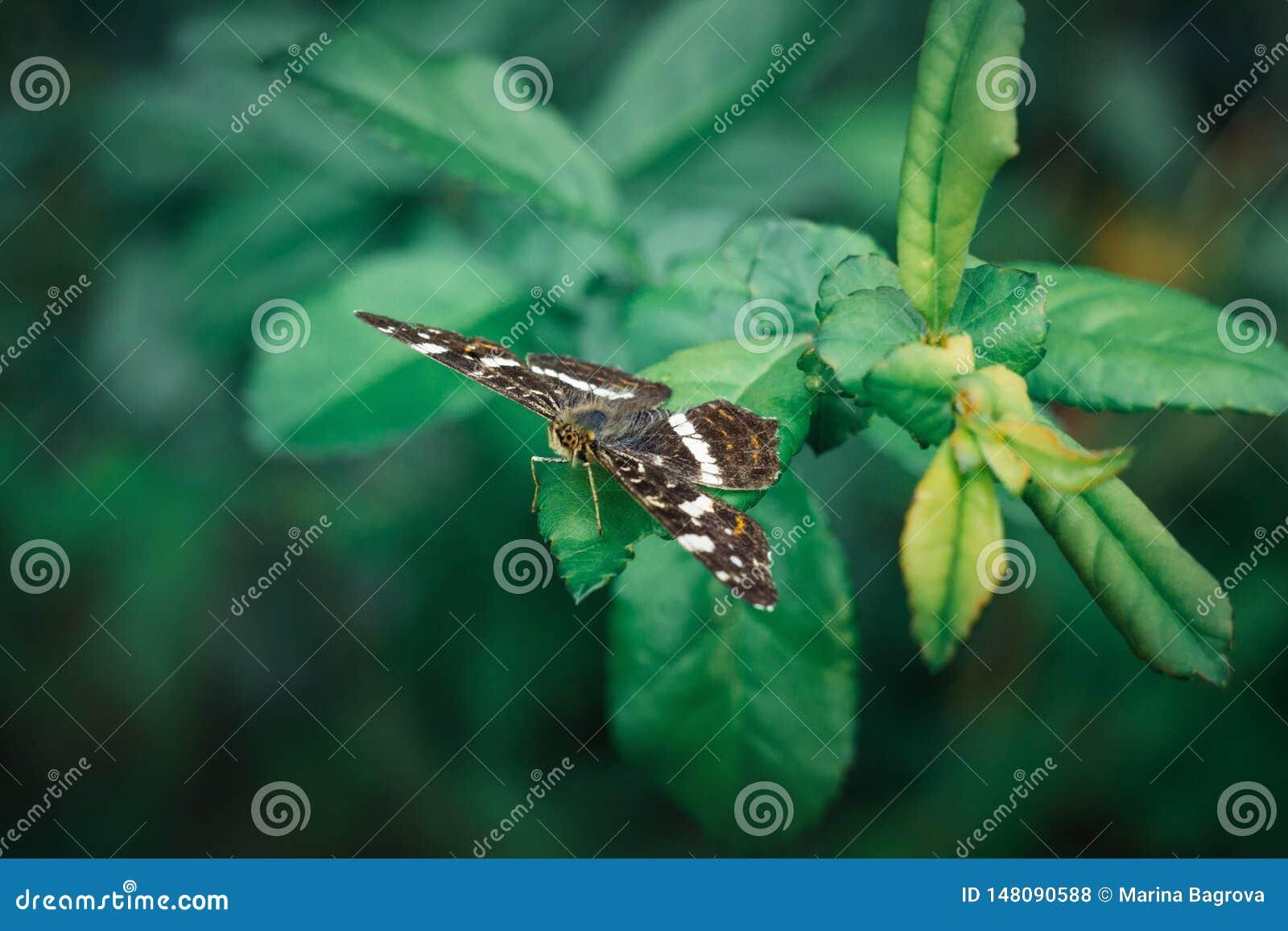 De kaartvlinder of Araschnia-levana zitten op een groen blad op een vage achtergrond Een mooie vlinder met gevlekte bruin