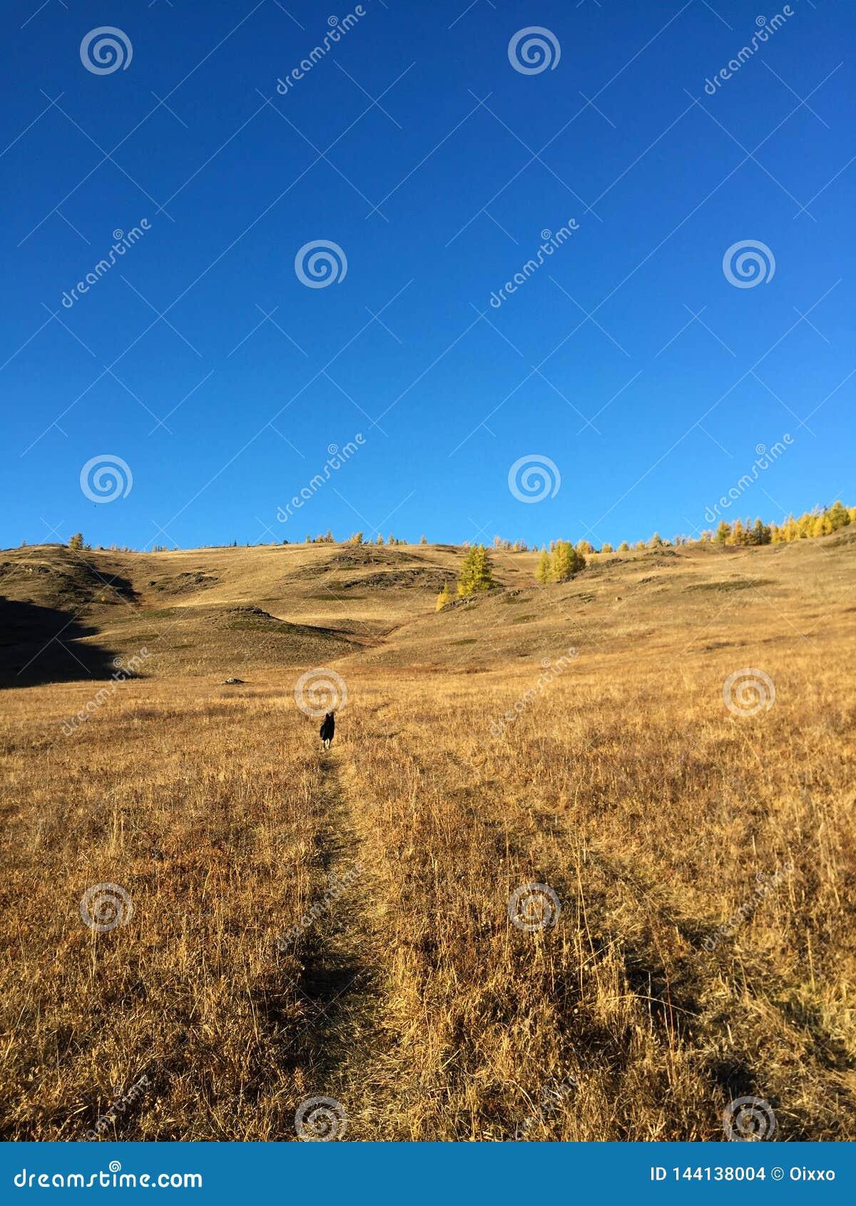 De kaartweergave van de Kuraisteppe De gouden herfst in Altai, Rusland Hond die door de weg gaan