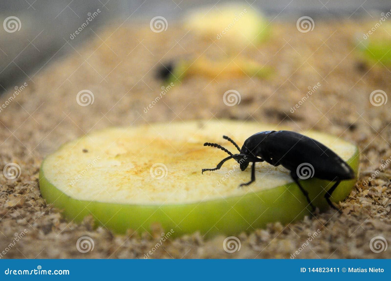 De kakkerlak die appel, insecten eten eet fruit enkel als ons