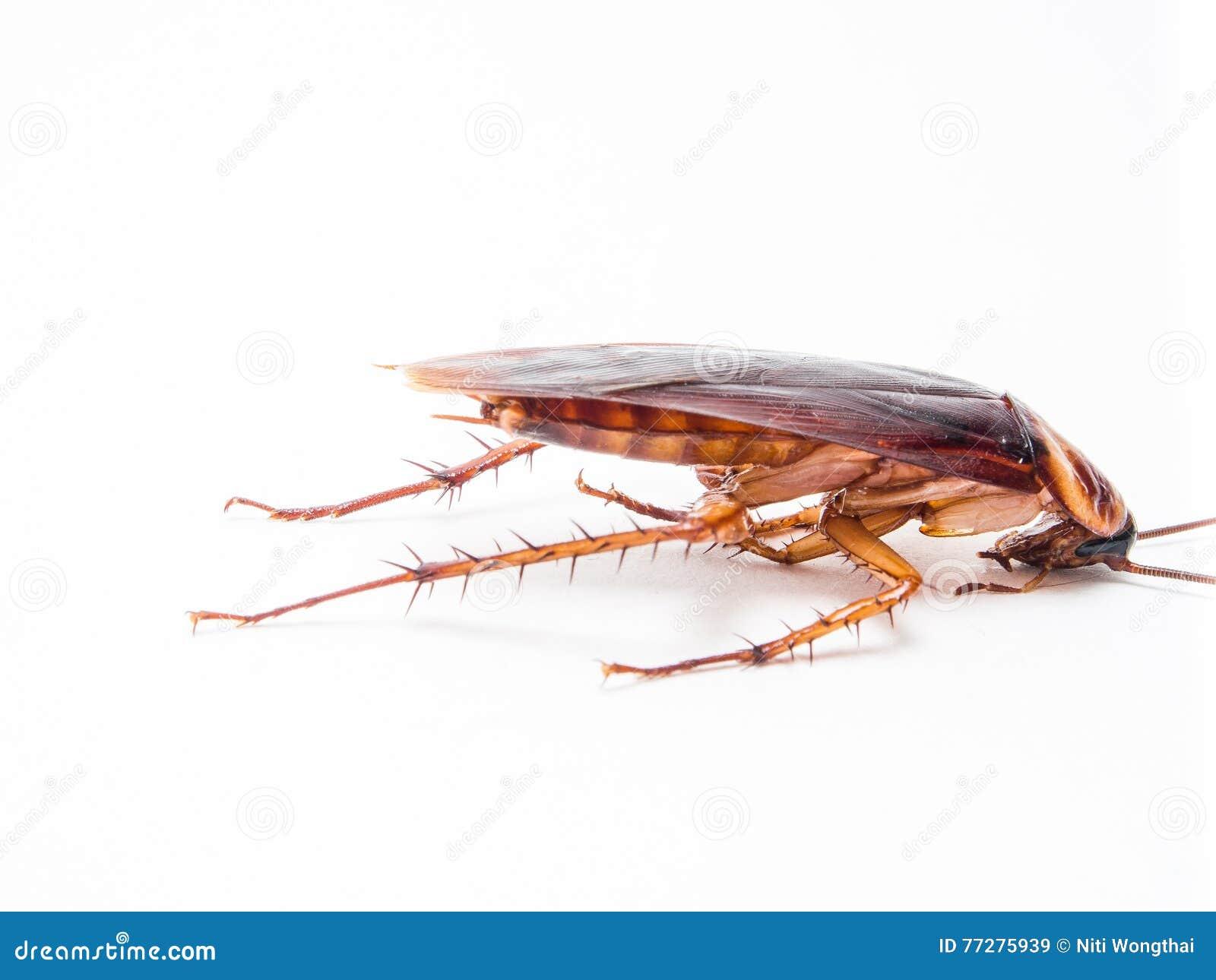 De kakkerlakken dragen ziekten die u moet elimineren