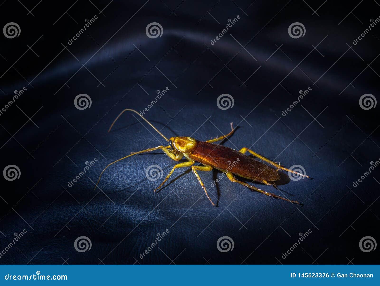 De kakkerlakken zijn op de leervloer van een zwarte bank bij nacht