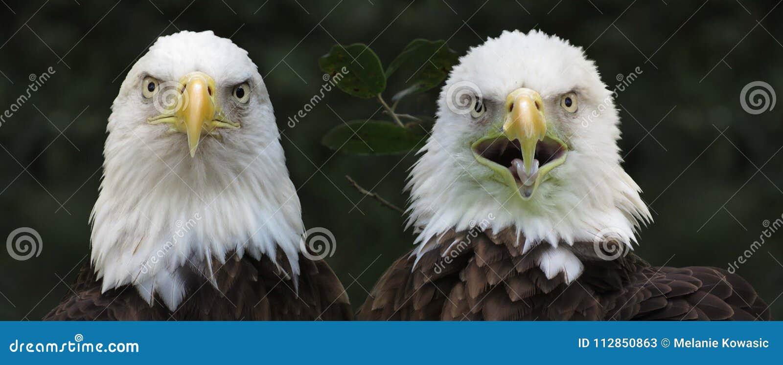 De kale Boze Vogels van Eagles
