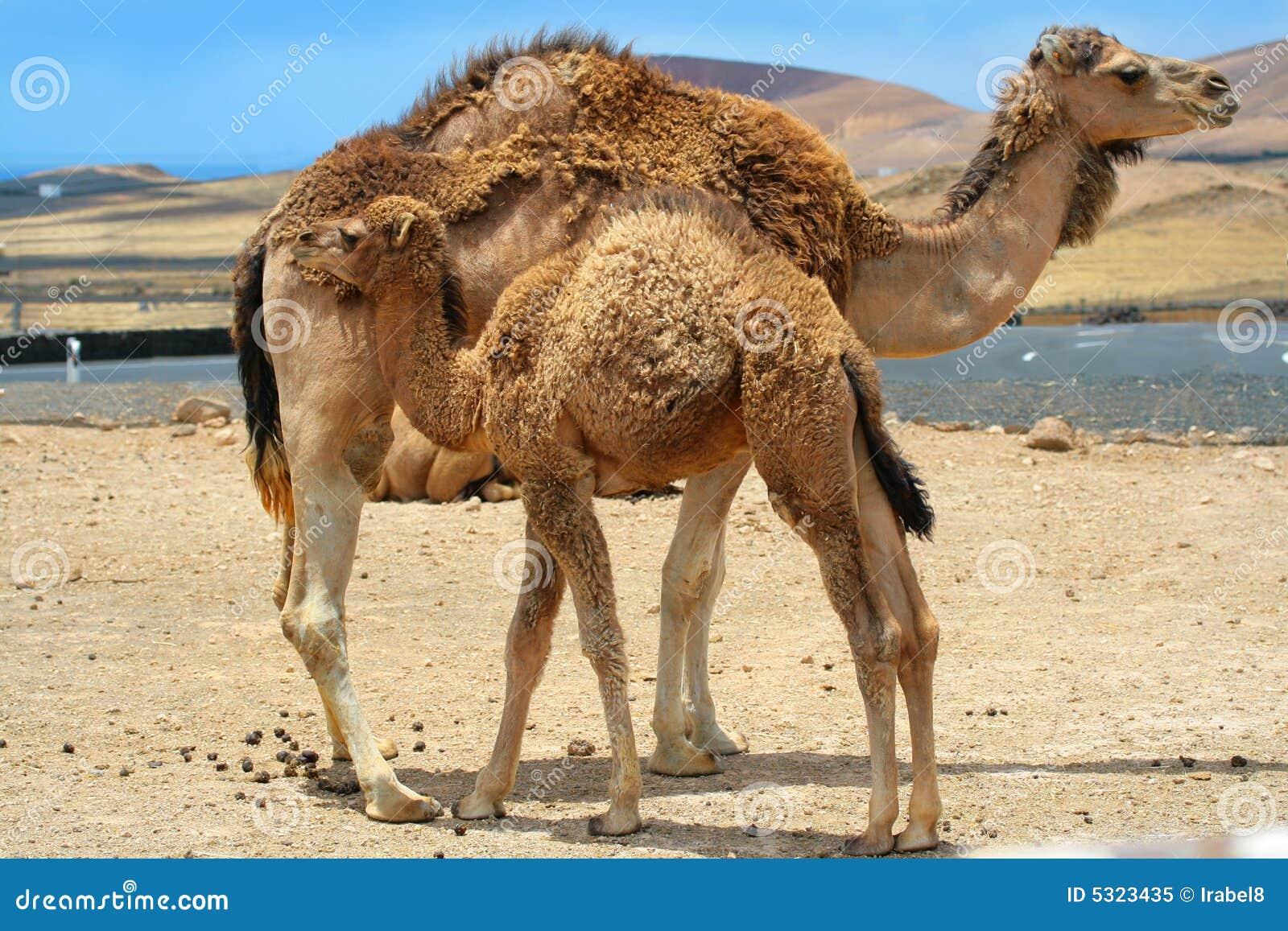 De kameel van de baby dichtbij moederkameel