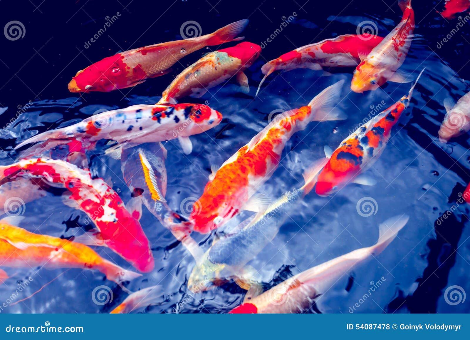 De karpervissen van Koi