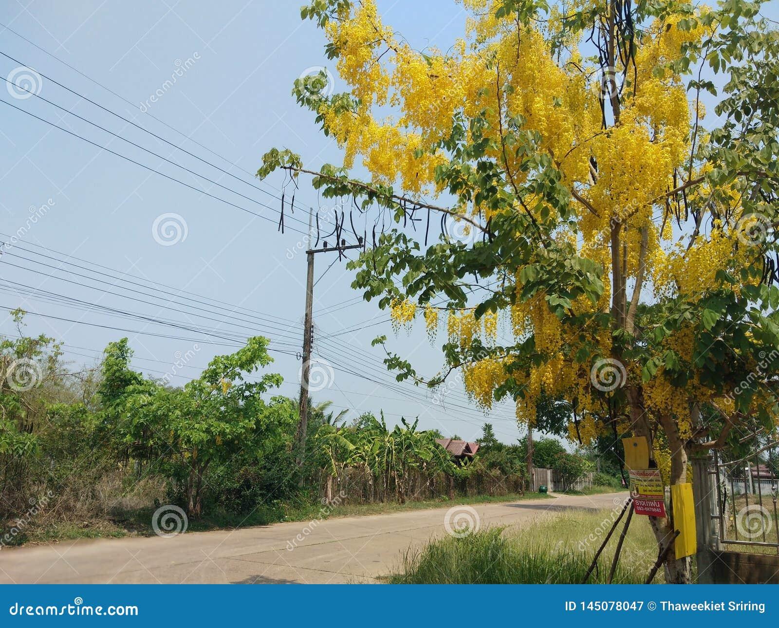 De kassieboomfistel, mooie geel, kan als achtergrondafbeelding worden gebruikt