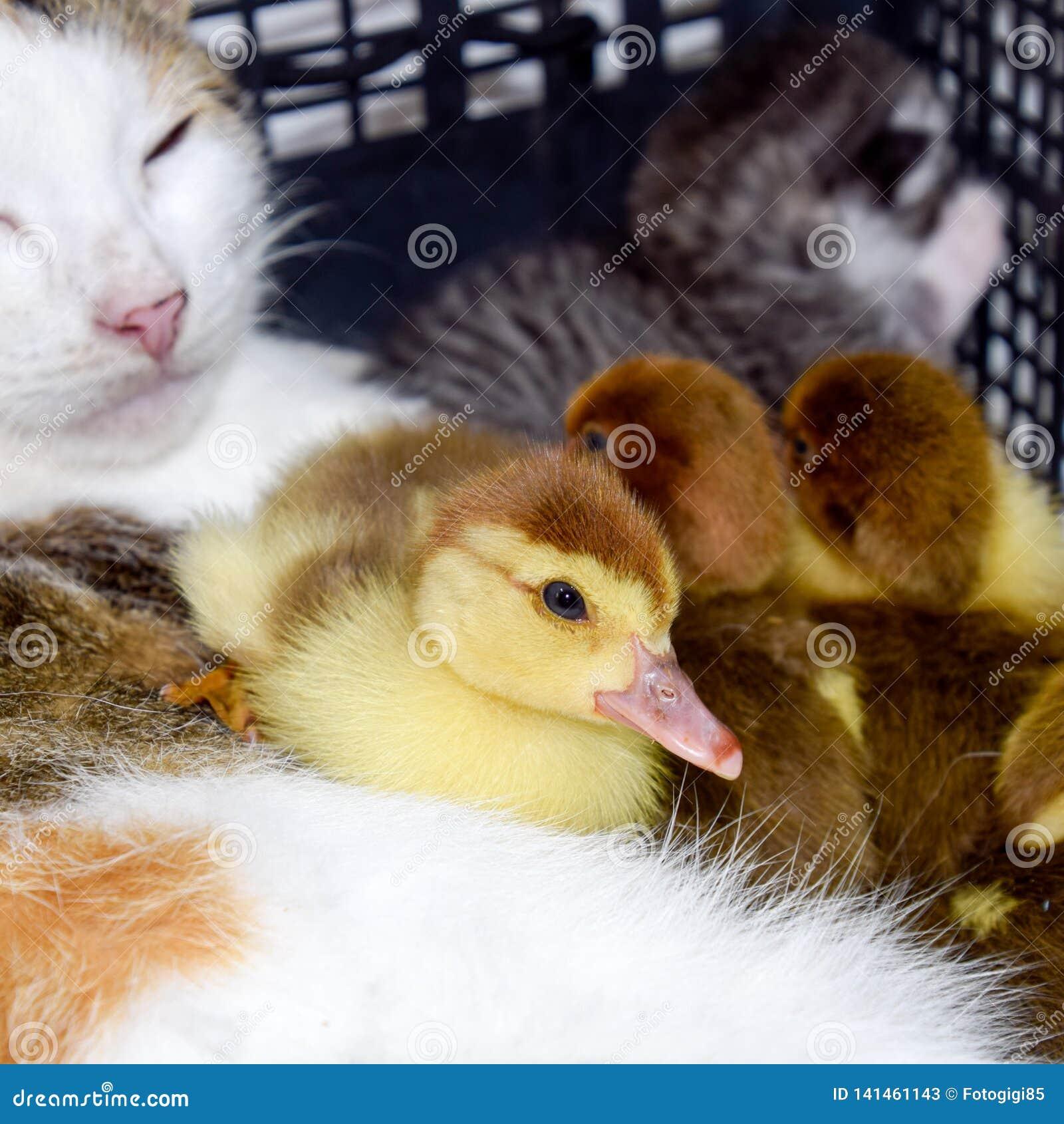 De kat bevordert moeder voor de eendjes
