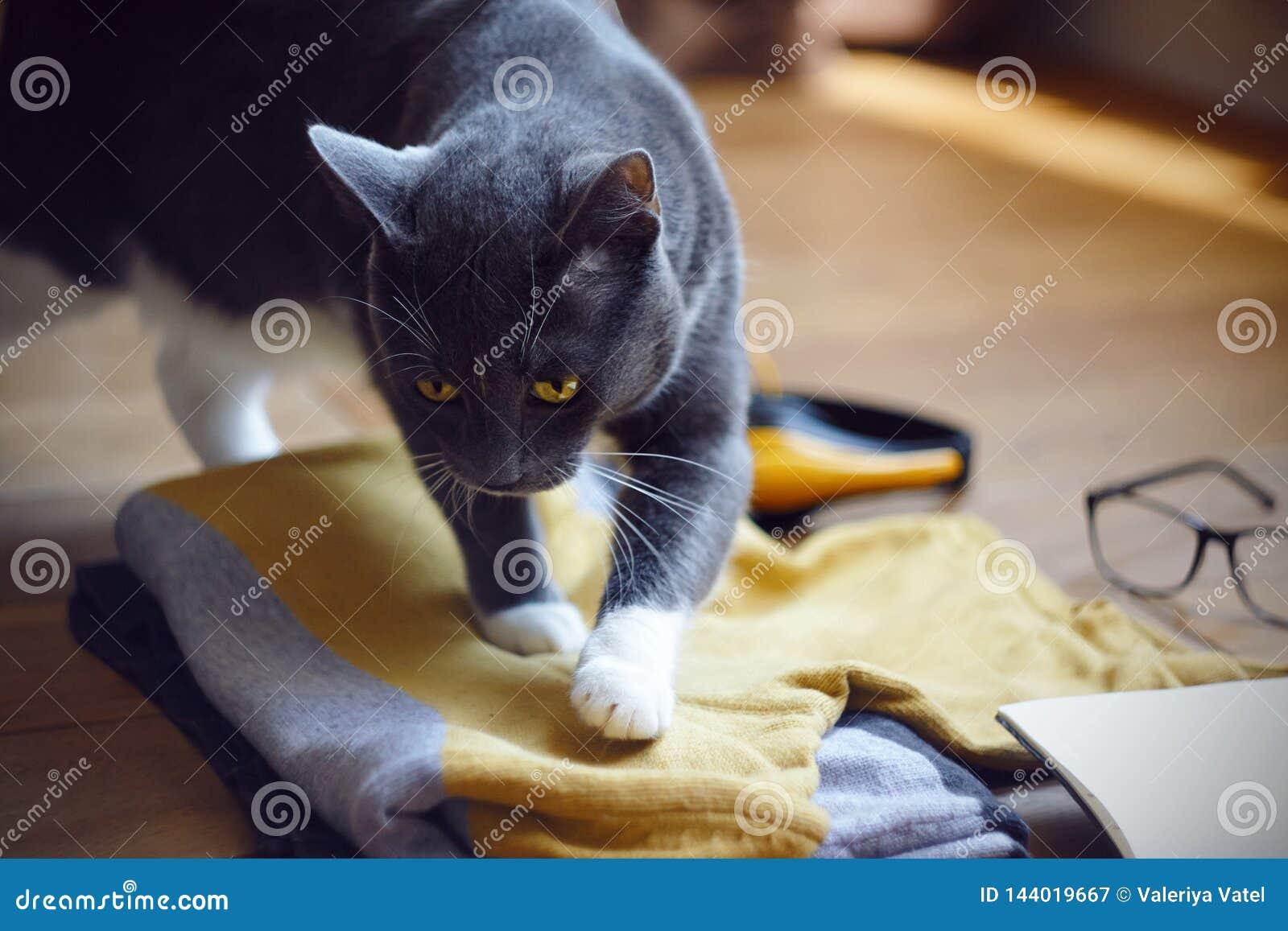 De kat met gele die ogen regelt comfortabel onder de dingen op de reis worden voorbereid