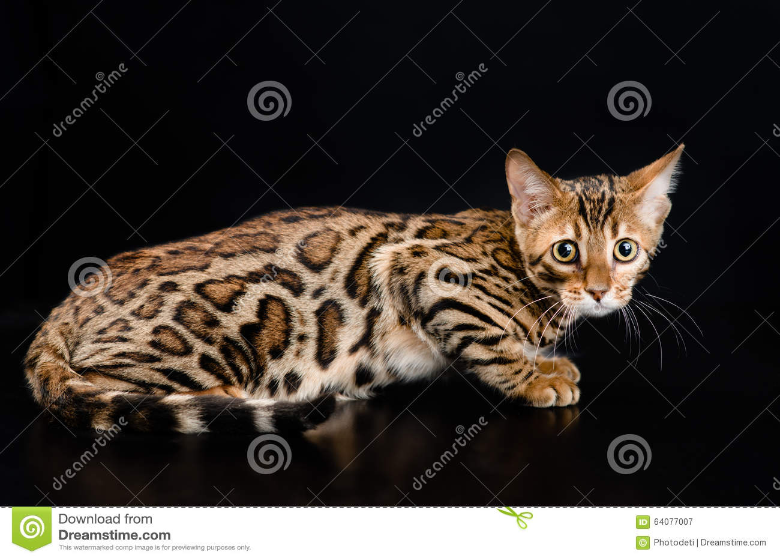 De kat van Bengalen op donkere achtergrond