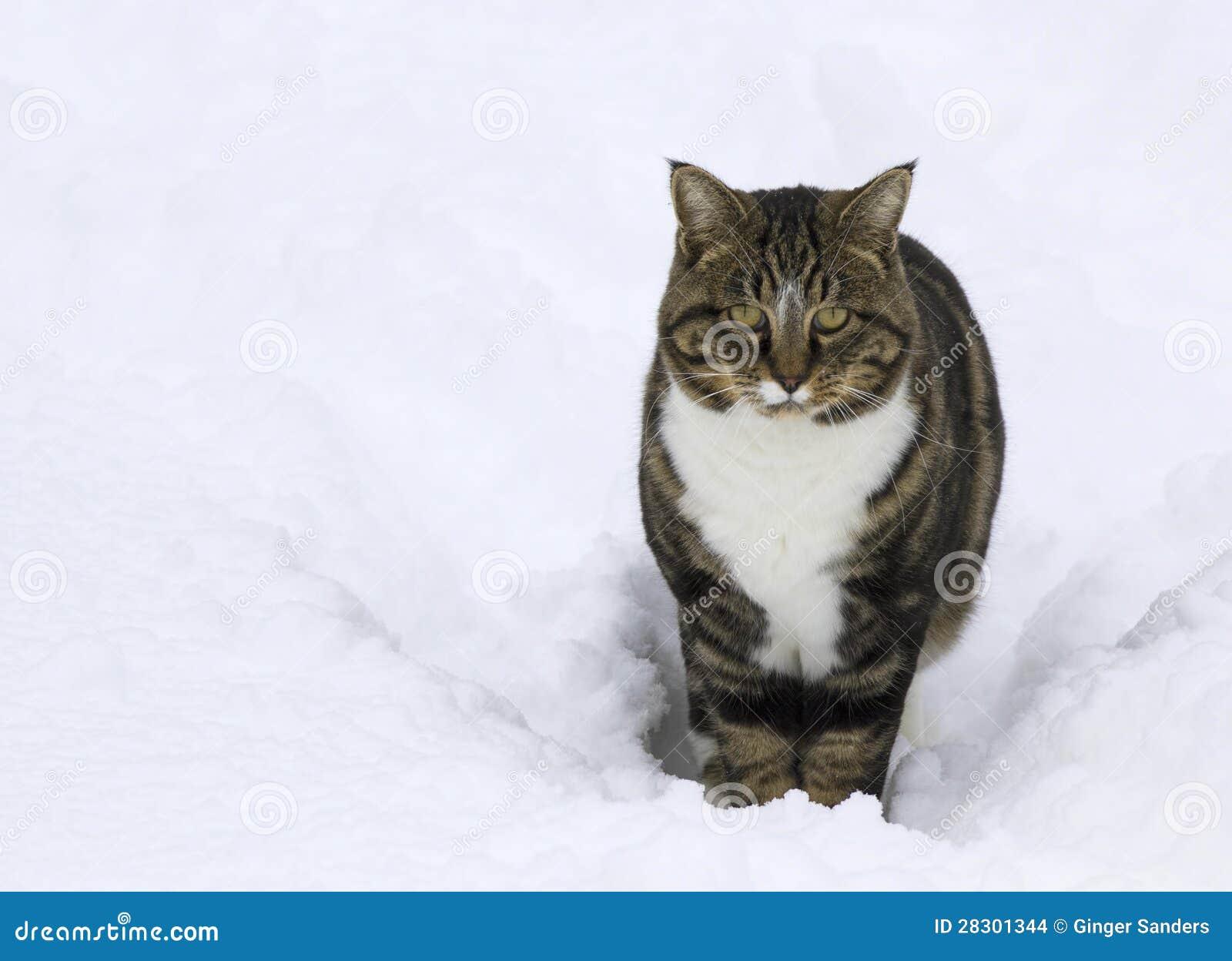 De Kat van de gestreepte kat in Sneeuw