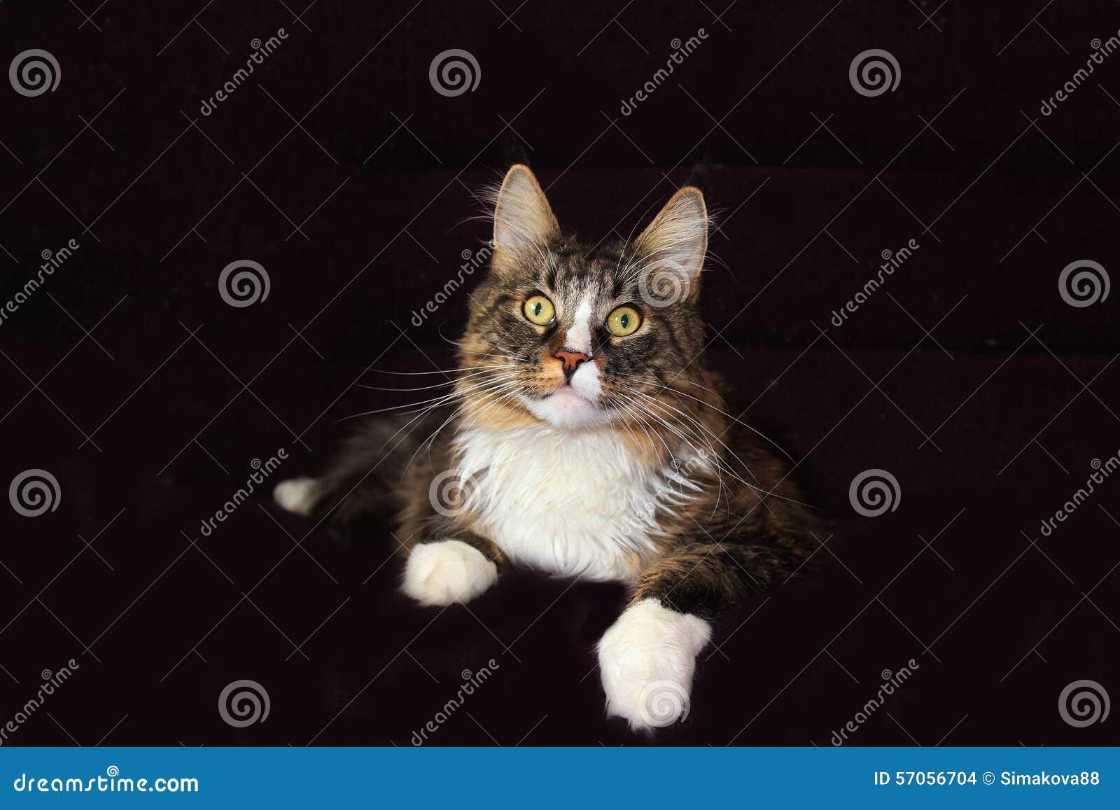 De Kat van de Wasbeer van Maine
