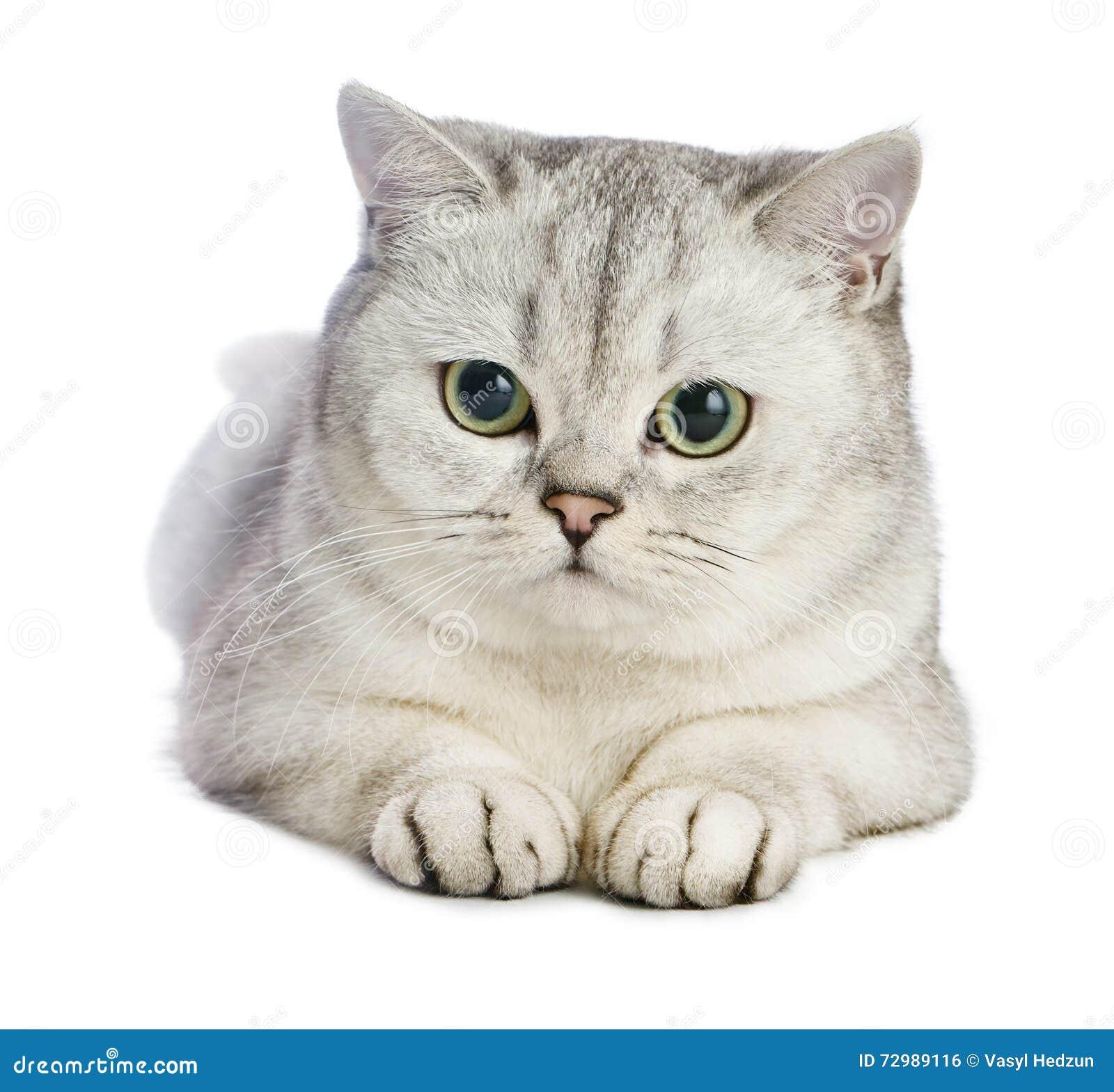De kat van Gray British shorthair