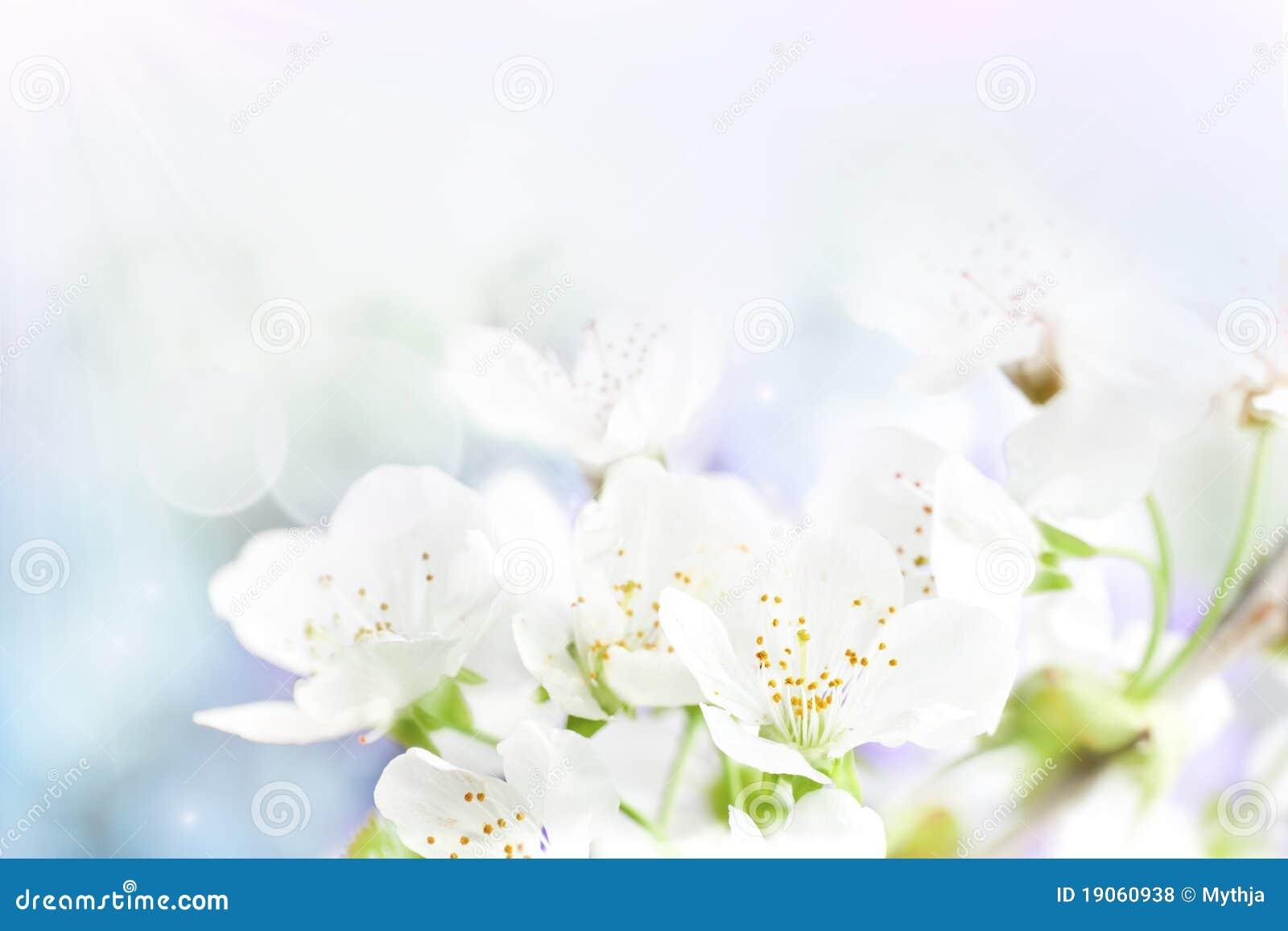 De kers bloeit achtergrond
