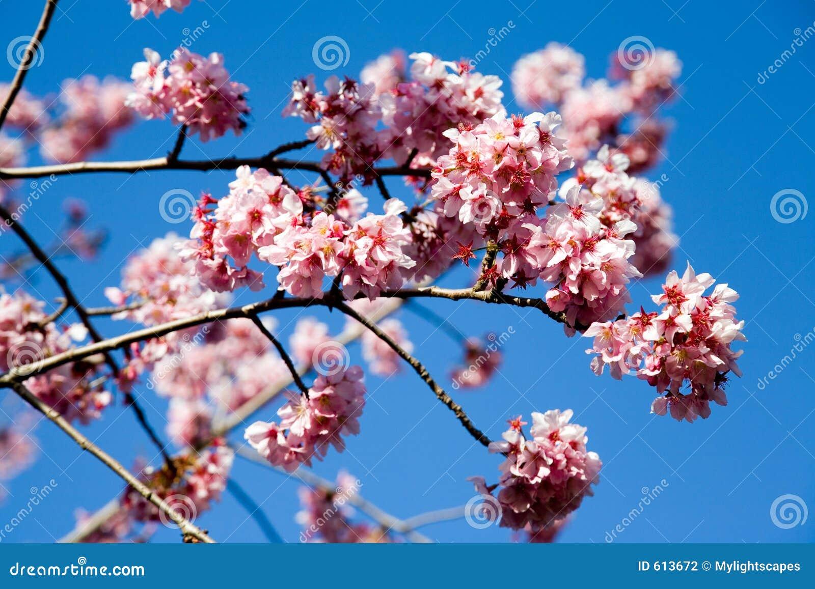De kersenbloemen van de lente