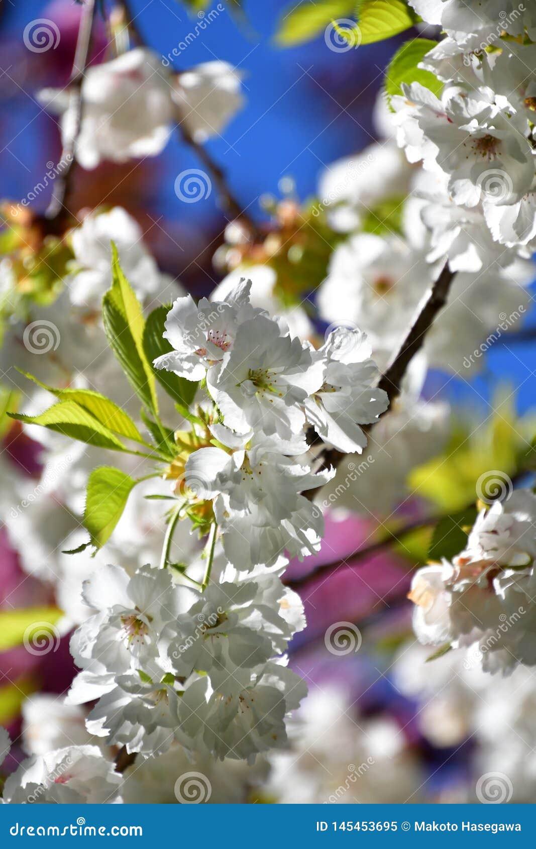 De kersenbloesem tegen de blauwe hemel