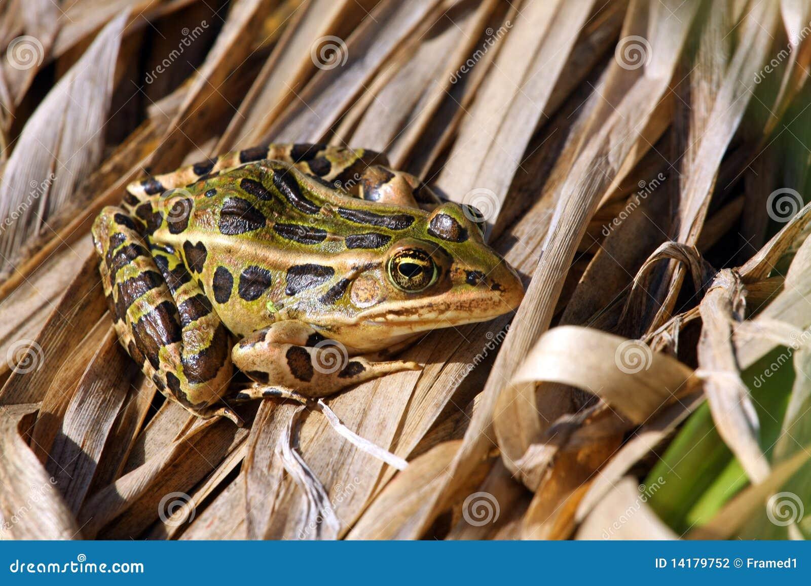 De Kikker van de luipaard