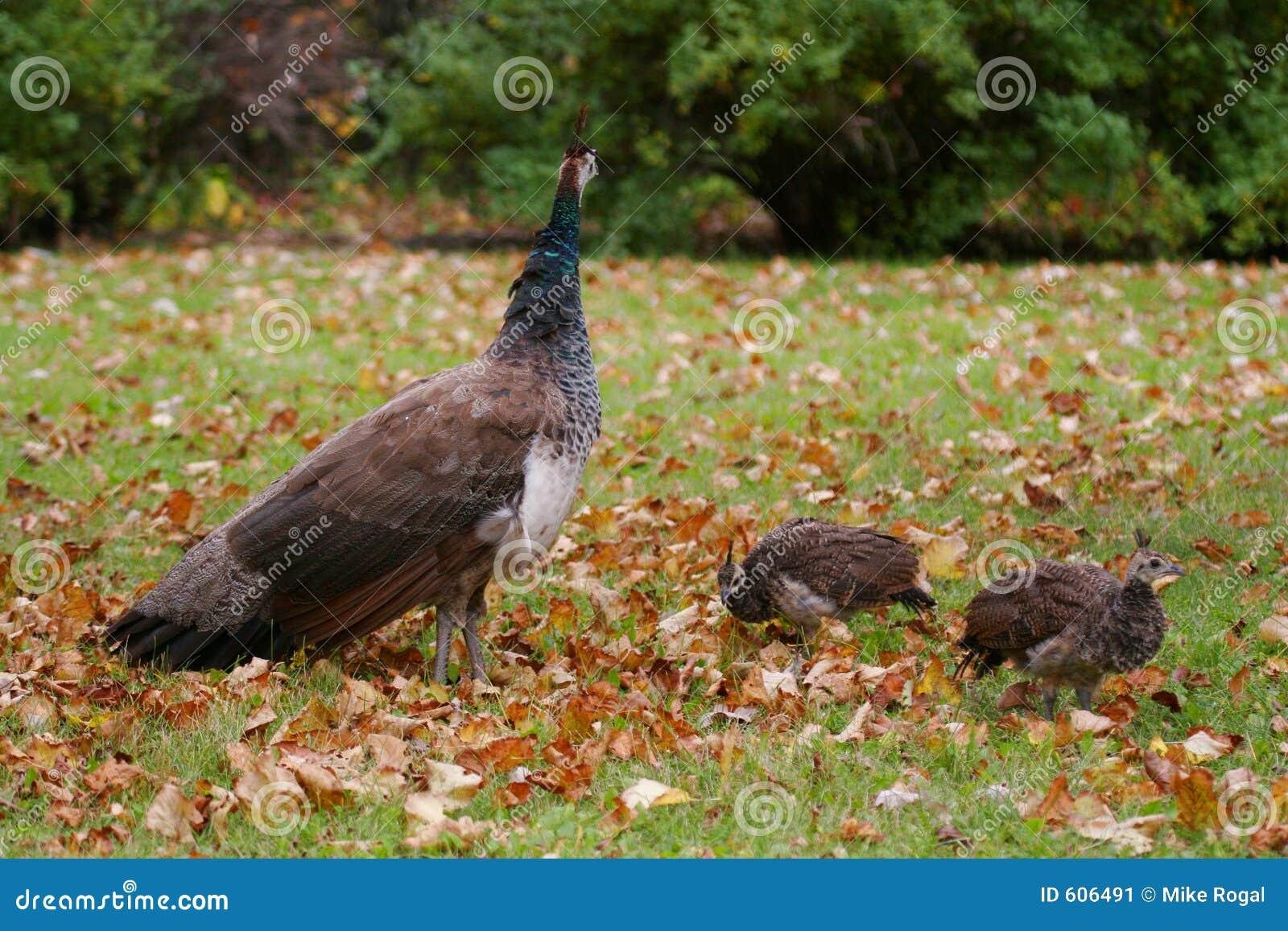 De kip en de kuikens van de pauw