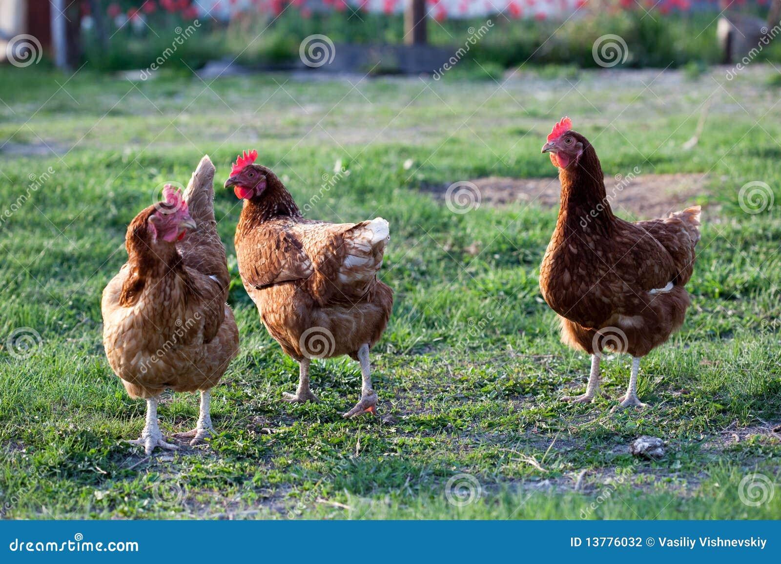 De kip van de kip