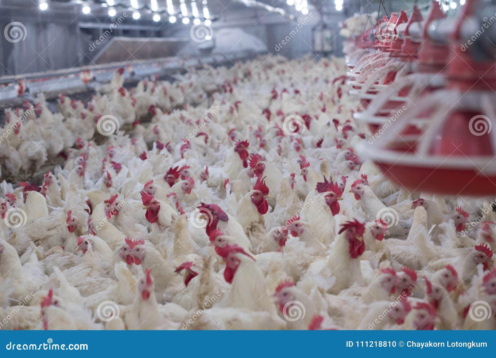 De kippen van het bedrijfs gevogeltelandbouwbedrijf landbouwbedrijf