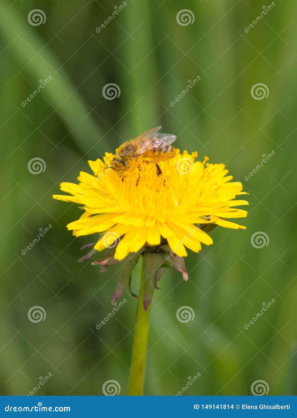 De kleine bij bestuift een gele bloem