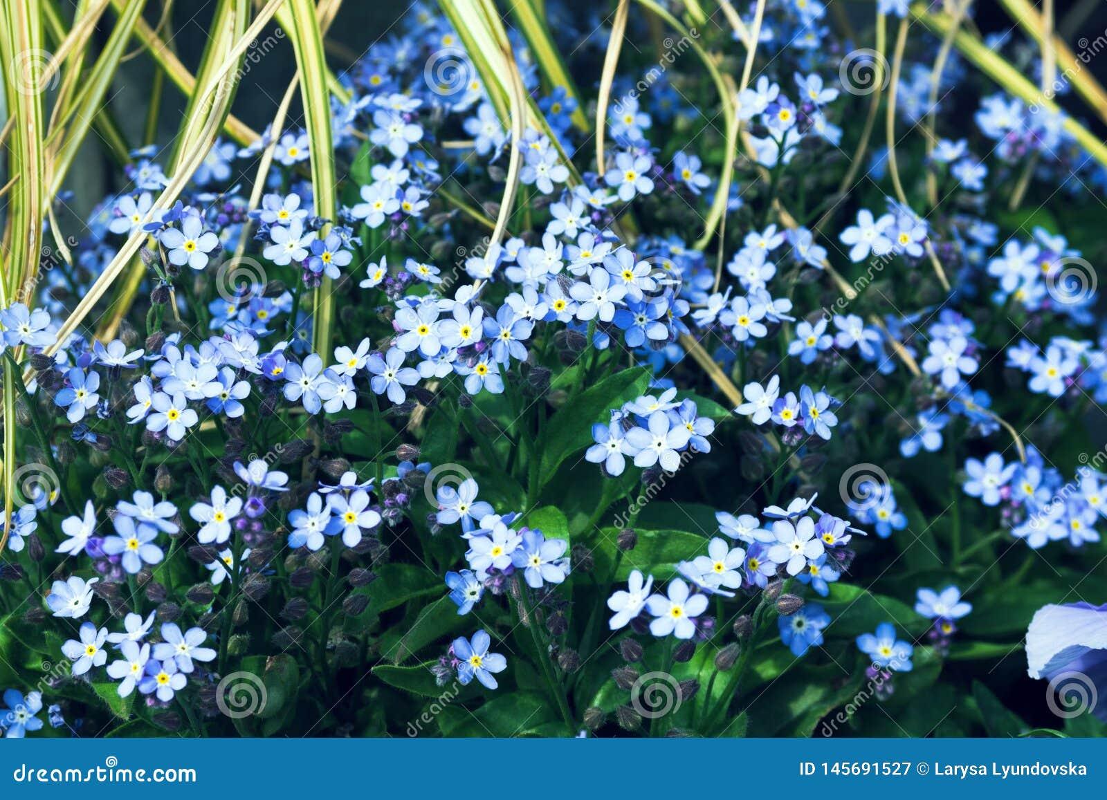 De kleine blauwe bloemen groeien in een bloemtuin op een zonnige dag Het vergeet-mij-nietje Myosotis behoort tot de Buraginov-fam
