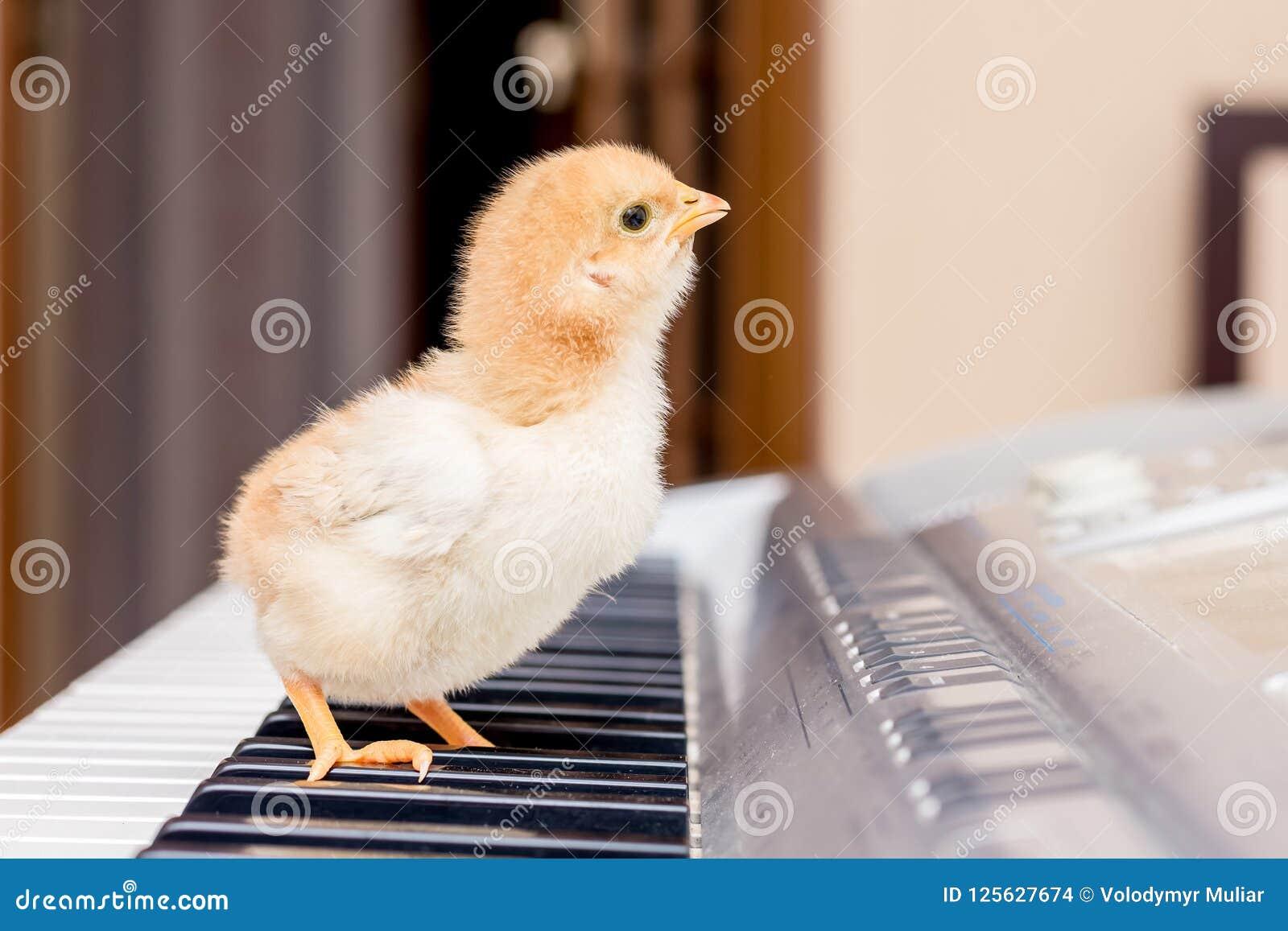 De kleine gele kip bevindt zich op de pianosleutels De eerste mus