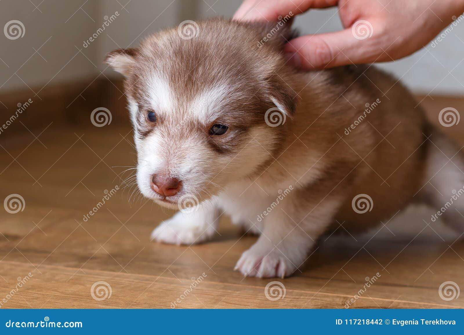 De kleine rode zitting Van Alaska van puppymalamute op de vloer Mannelijke hand die een puppy strijken