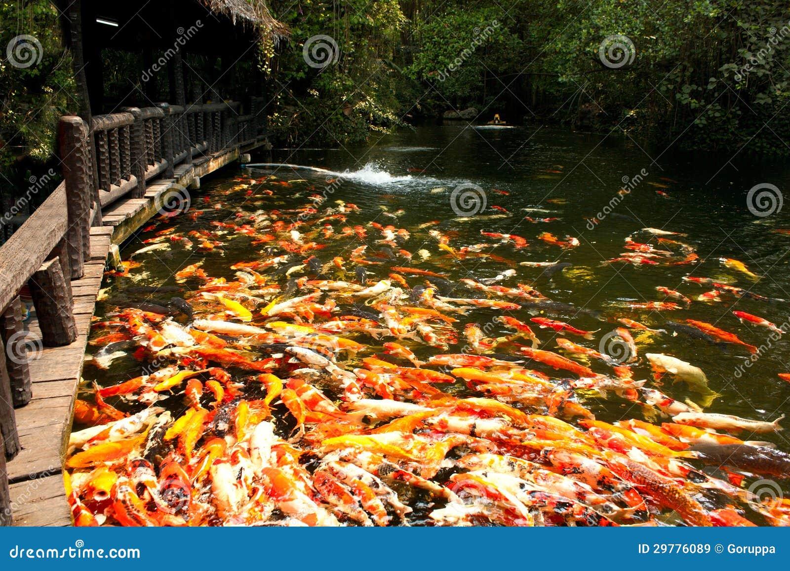 De vissen van Koi in vijver bij de tuin