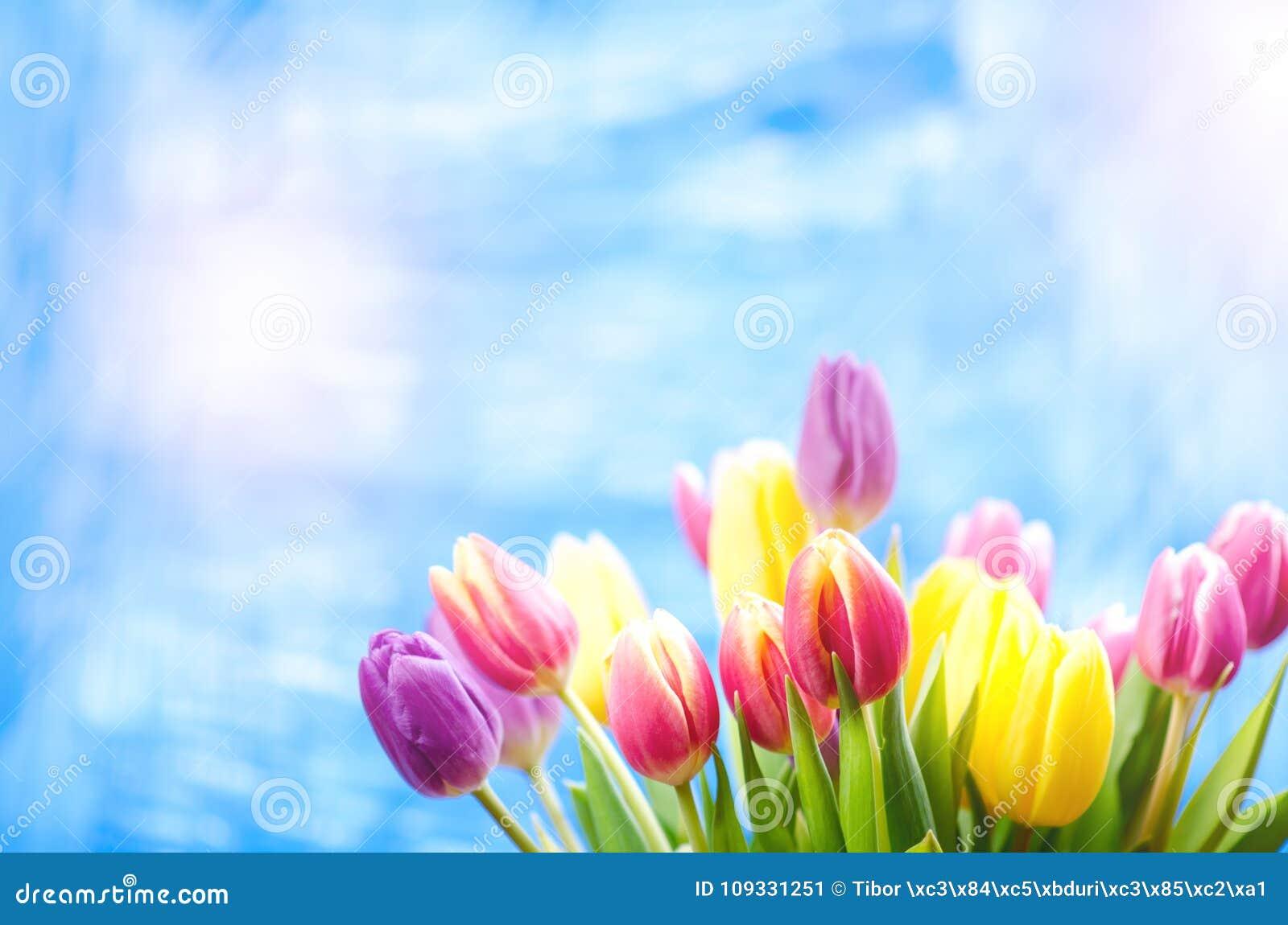 De kleurrijke tulp bloeit op een blauwe achtergrond met een exemplaarruimte voor een tekst Bovenkant van mening Blauwe hemelachte