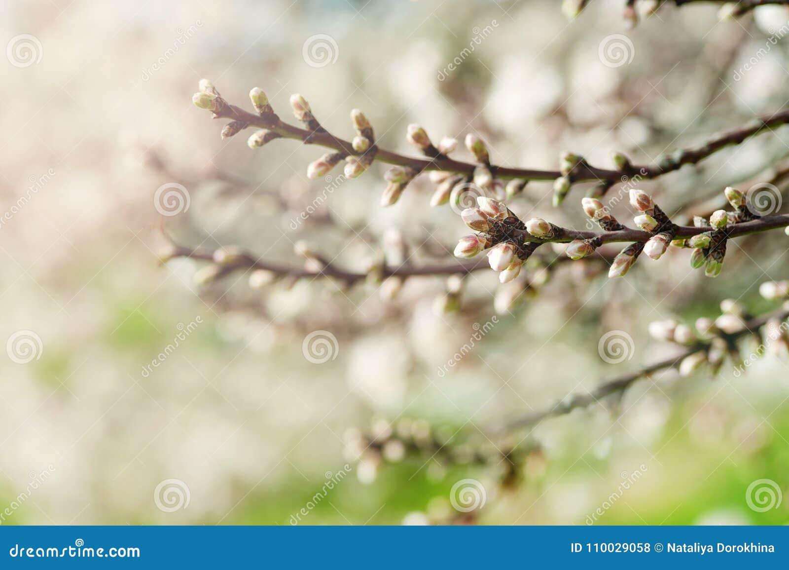 De knop van de abrikozenbloem op een boomtak, tak met boomknoppen