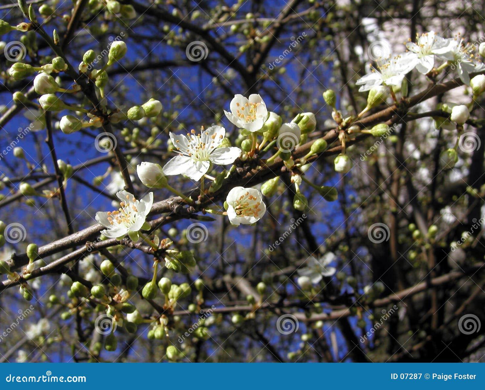 De Knoppen van de lente