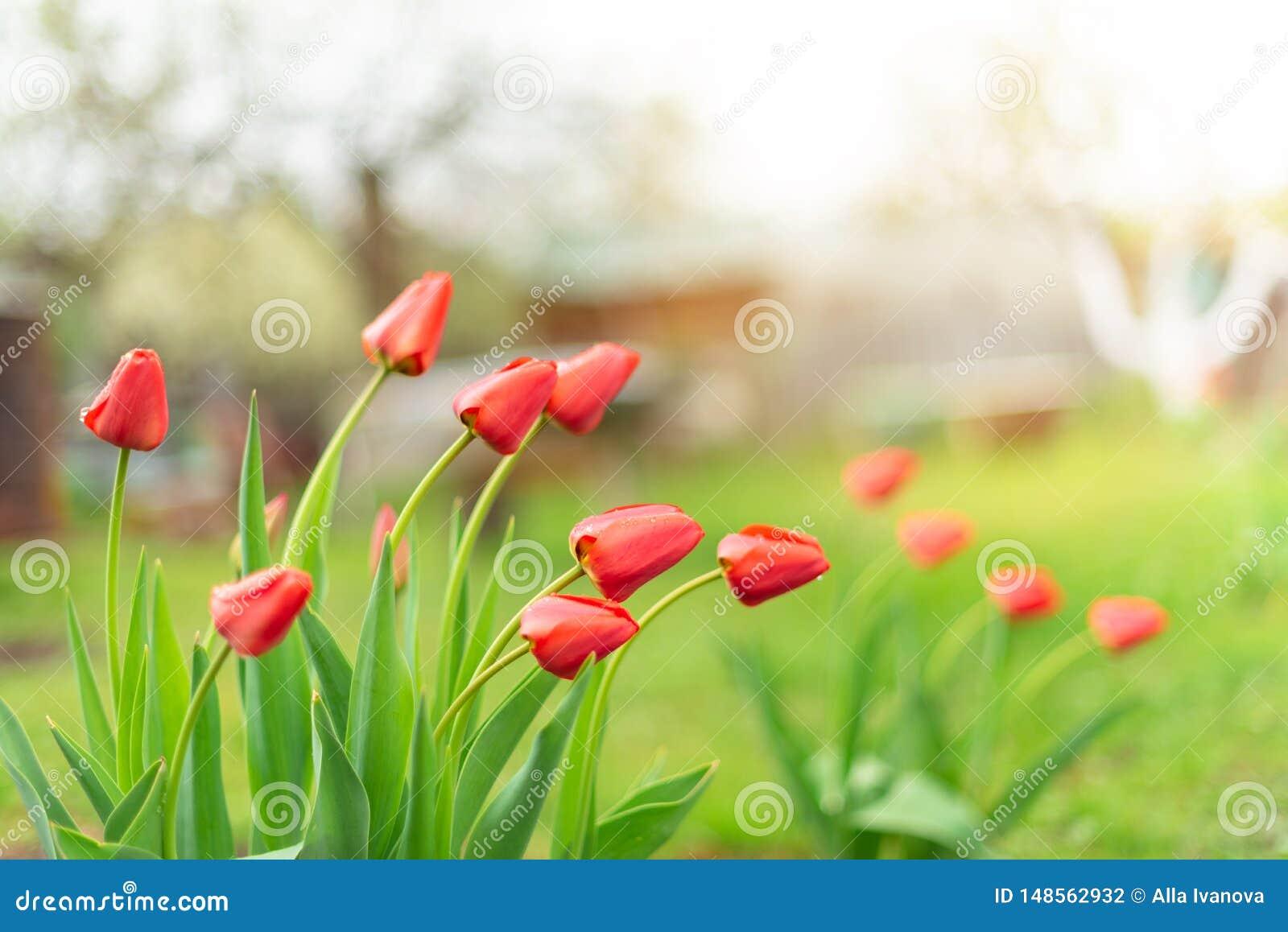 De knoppen van rode tulpen die in een tuin groeien, sluiten omhoog