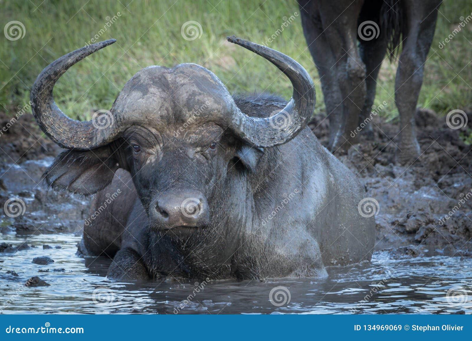 De koe die van kaapbuffels van koud water en modder van bar genieten