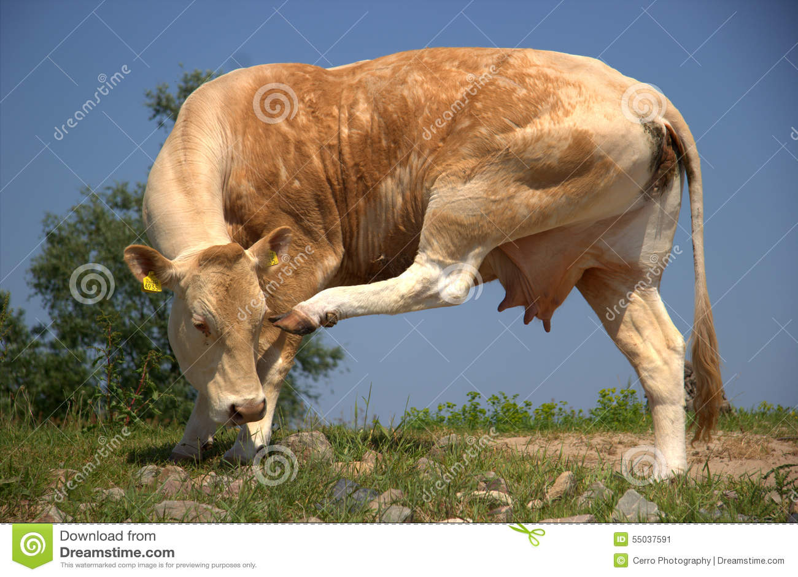 De koe krast zijn hoofd