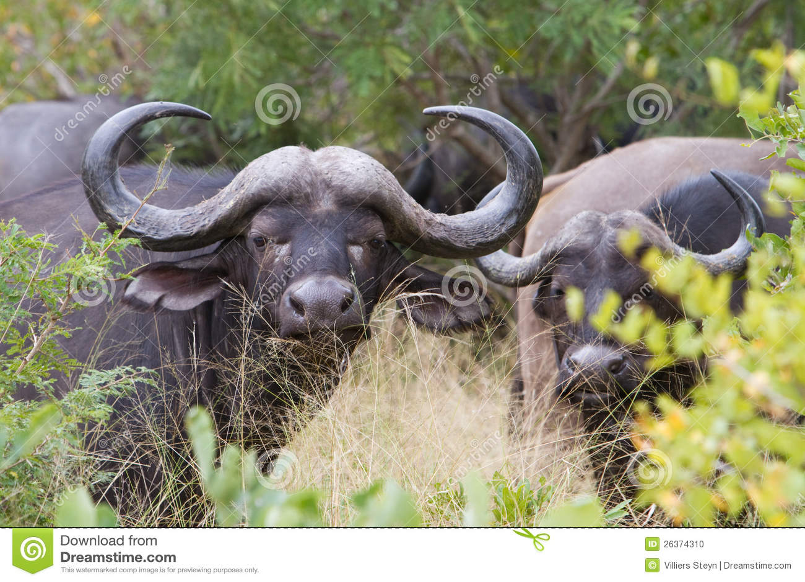 De koe van buffels