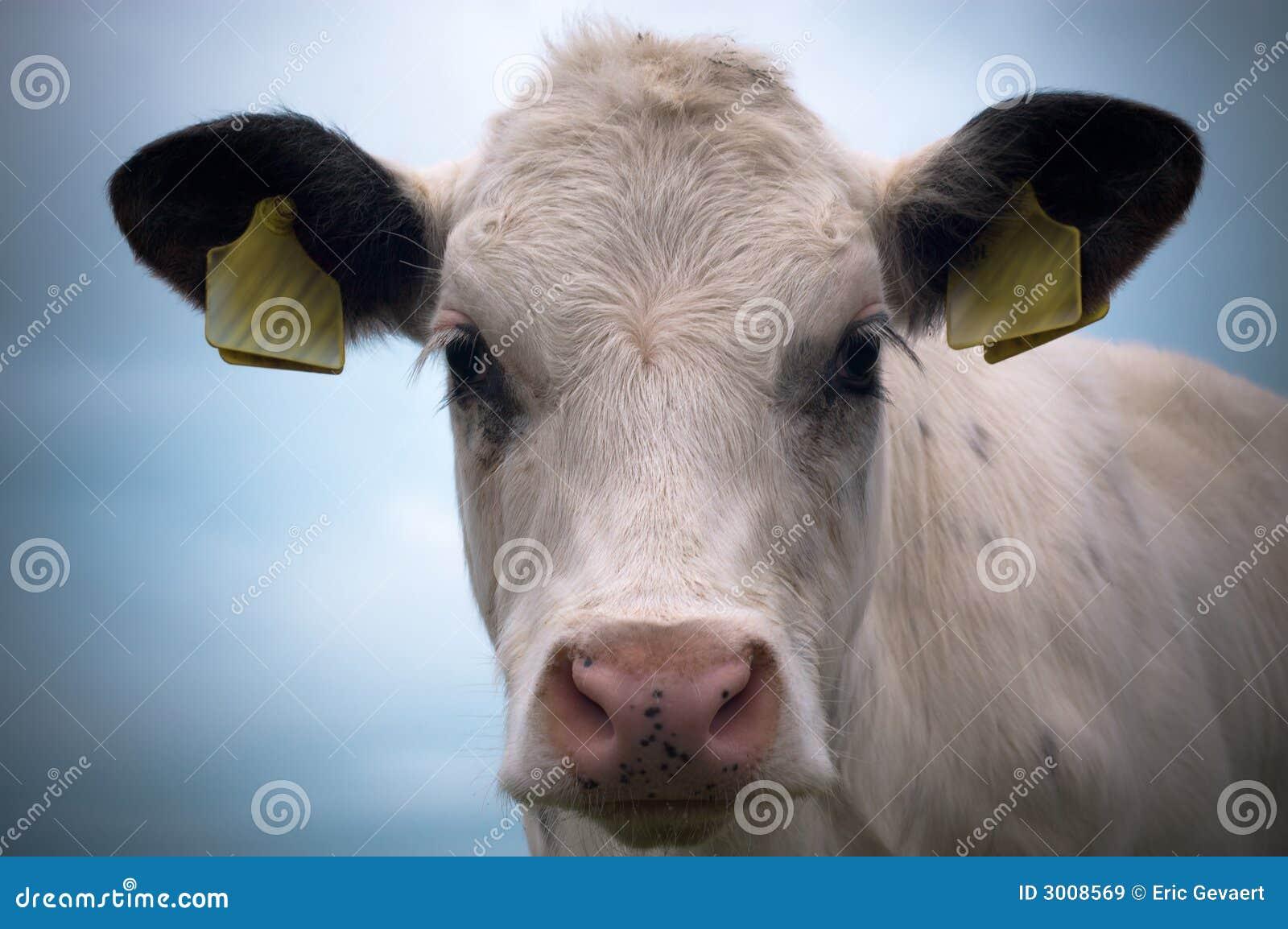 De koe van de baby