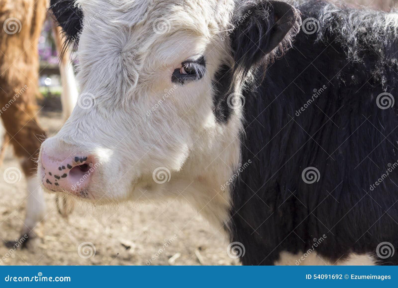 De koe van Galloway