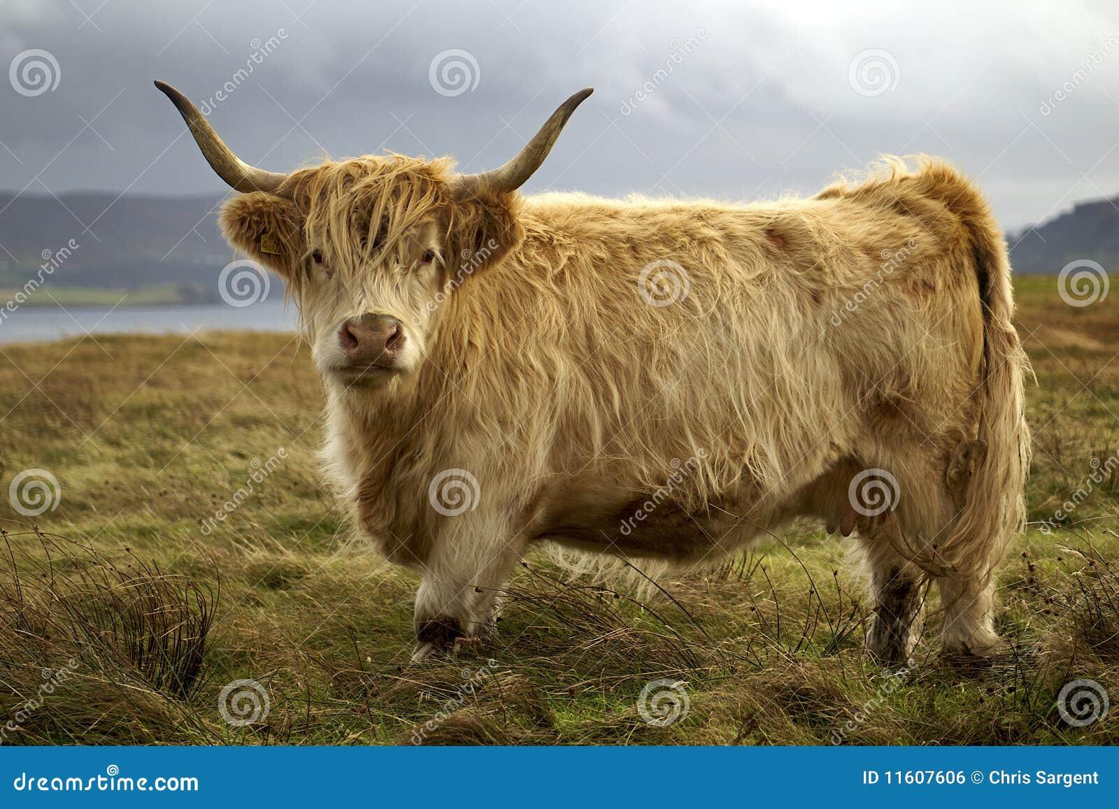 De koe van het hoogland