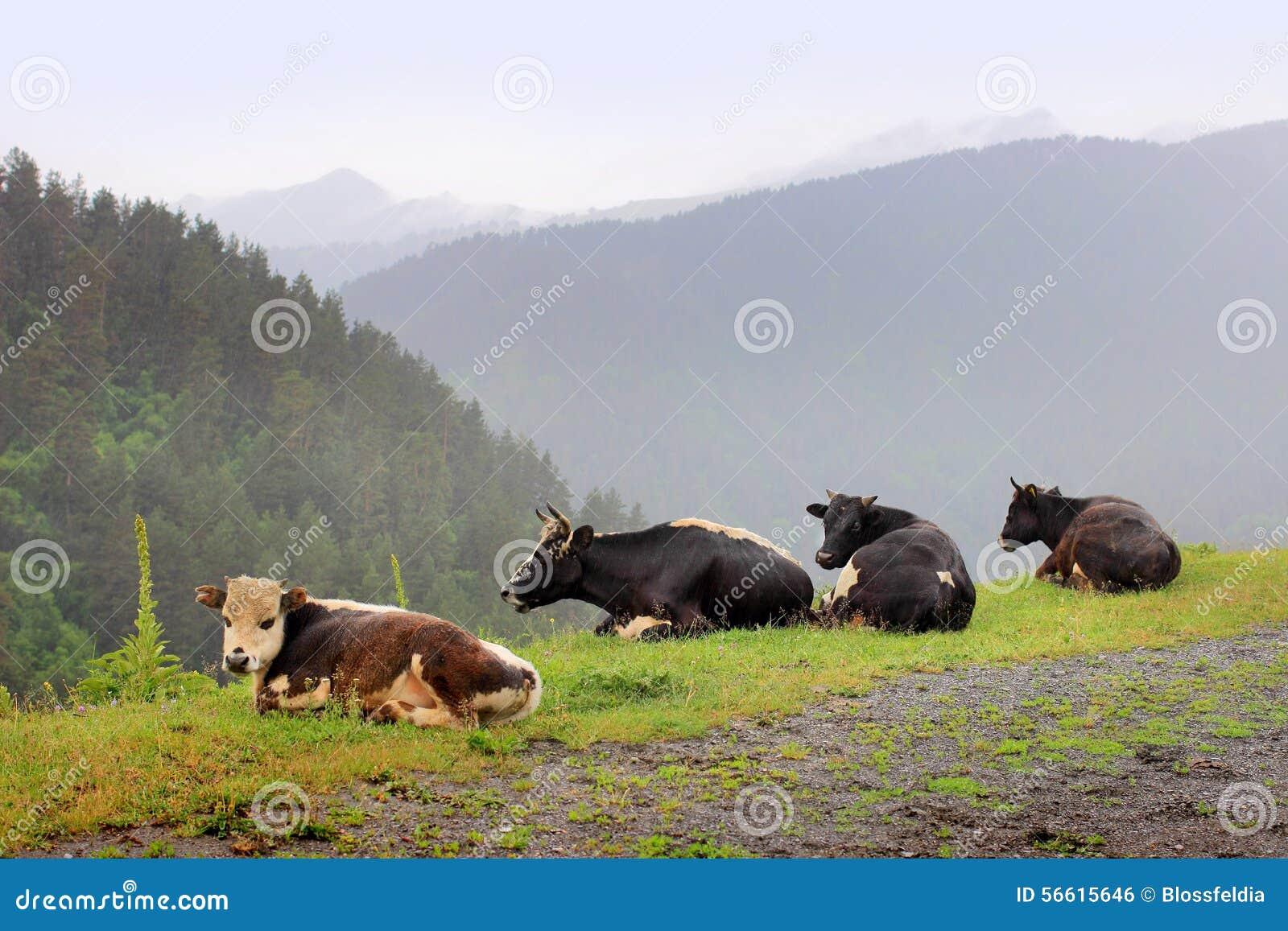 De koeien in Omalo-dorp Tushetigebied (Georgië)