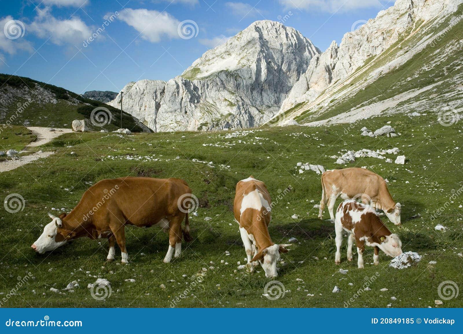 De Koeien van alpen