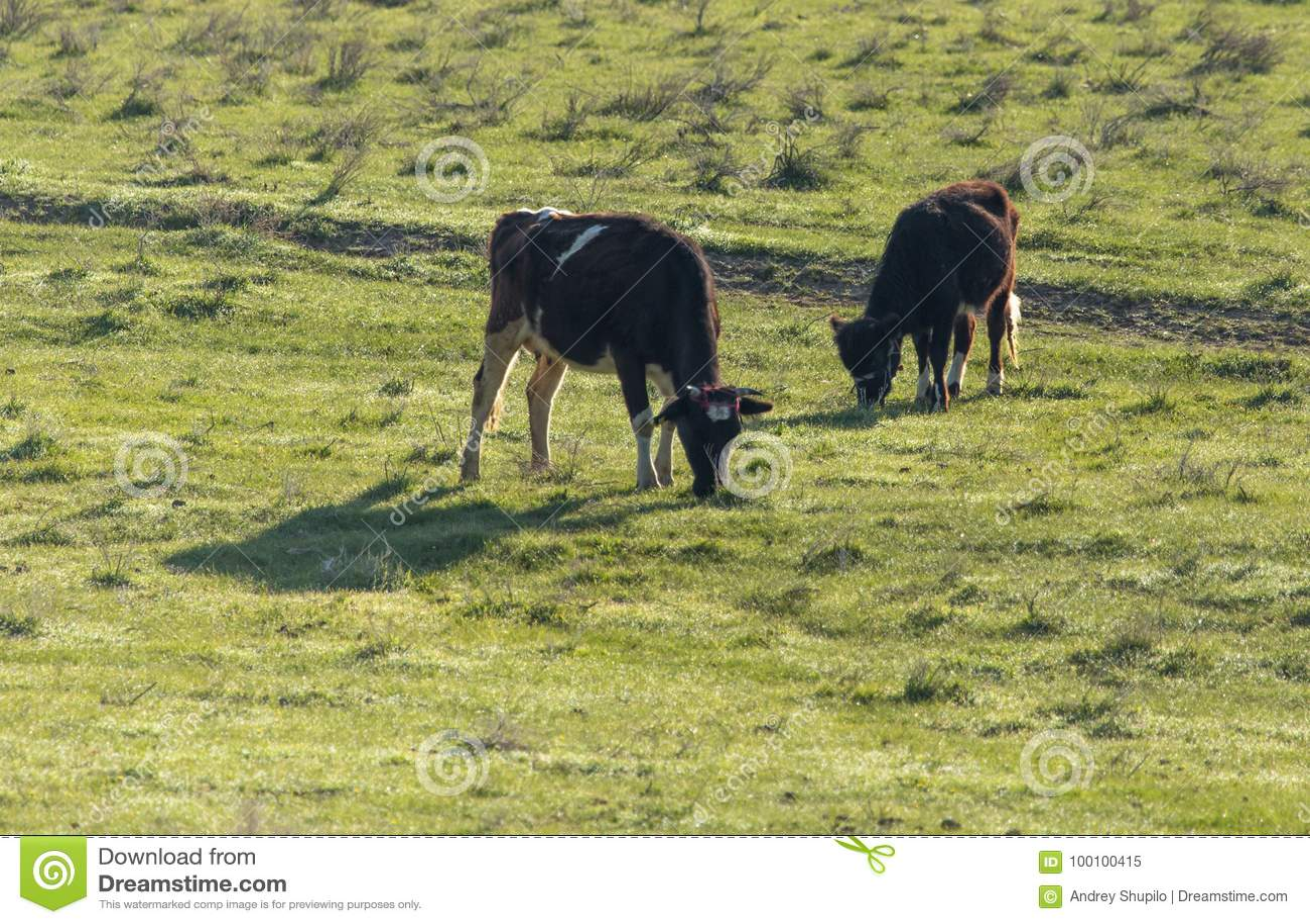 De koeien weiden op weiland op aard