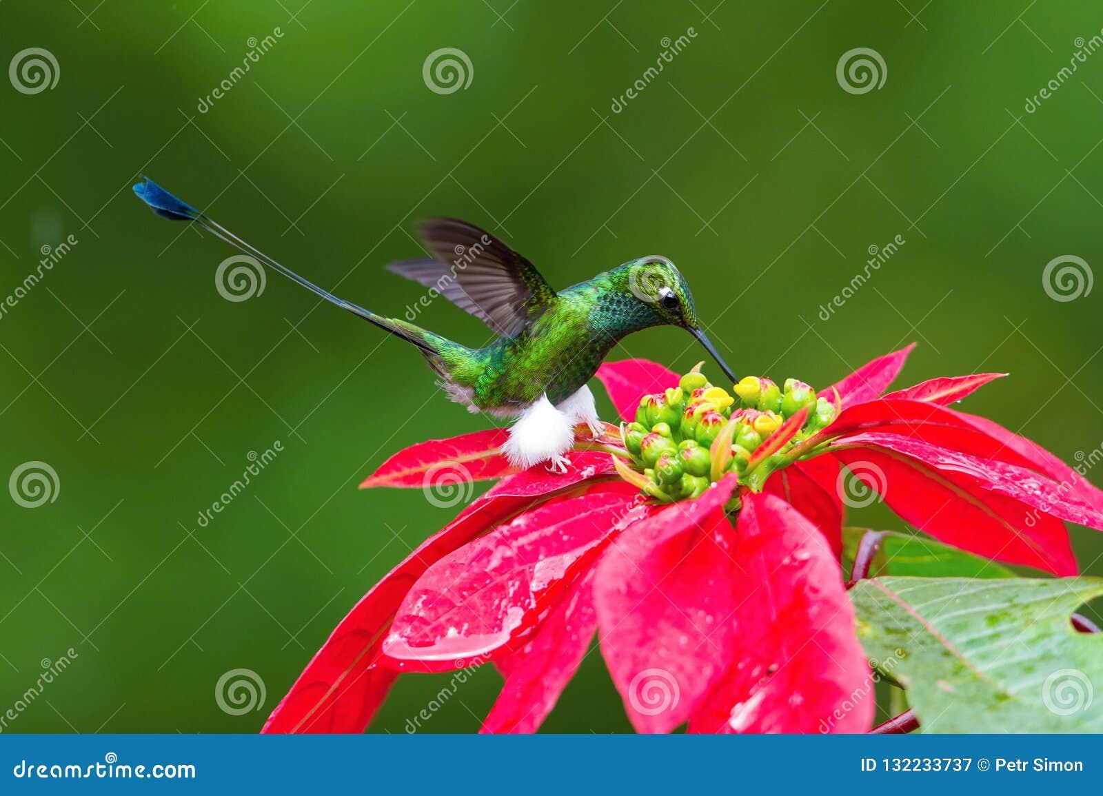De Kolibrie hangt en drinkt de nectar van de mooie bloem