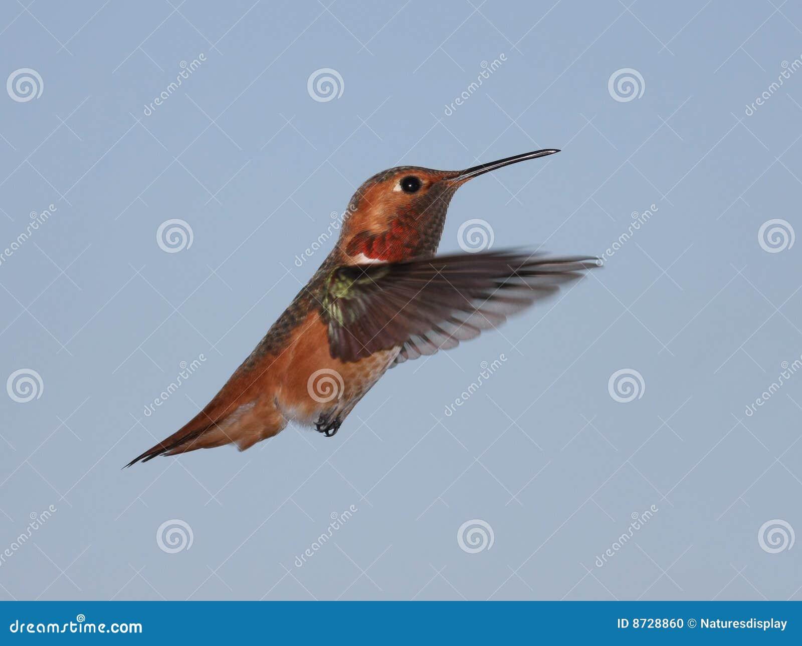 De Kolibrie van Allen