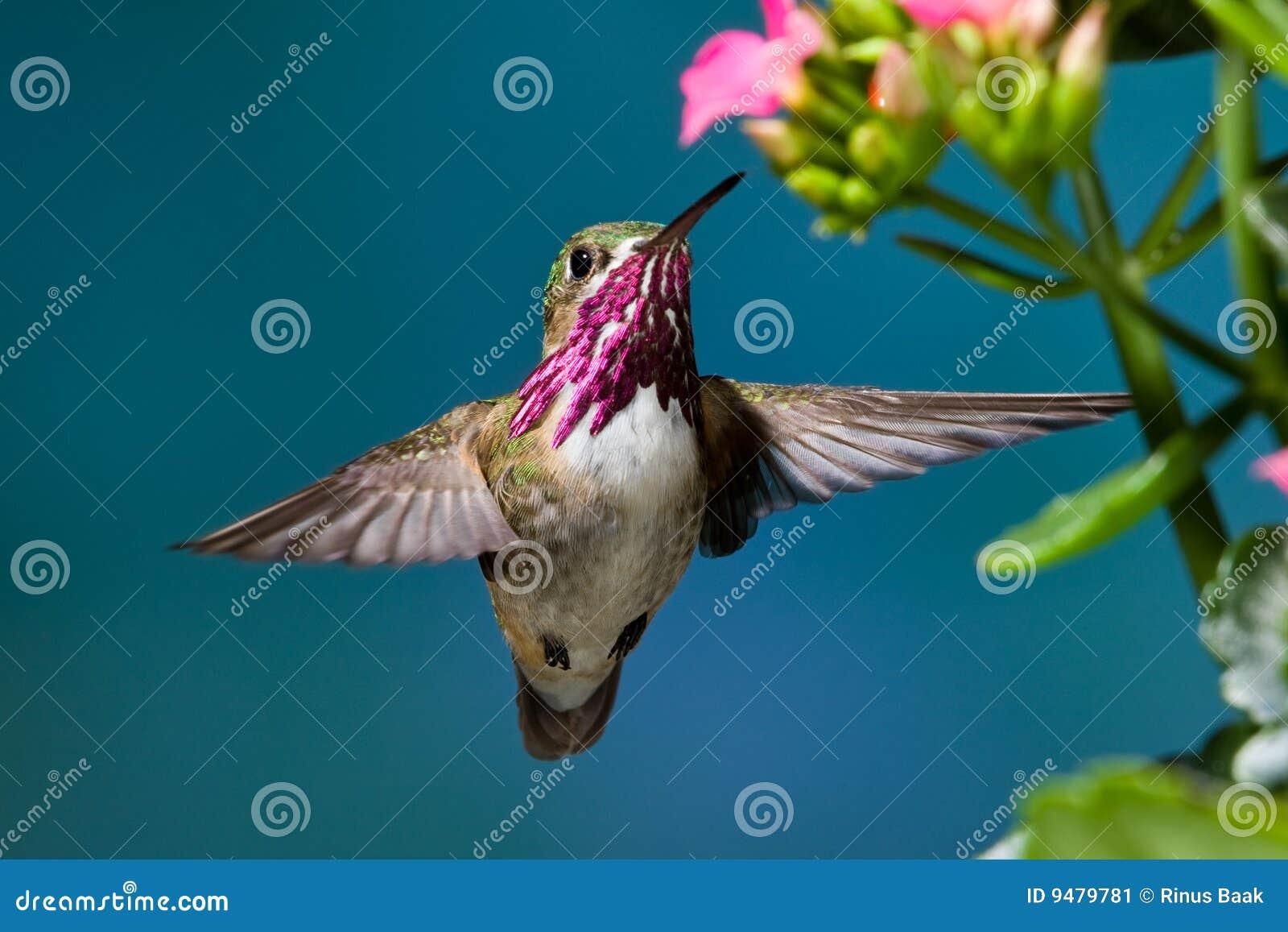 De Kolibrie van Calliope
