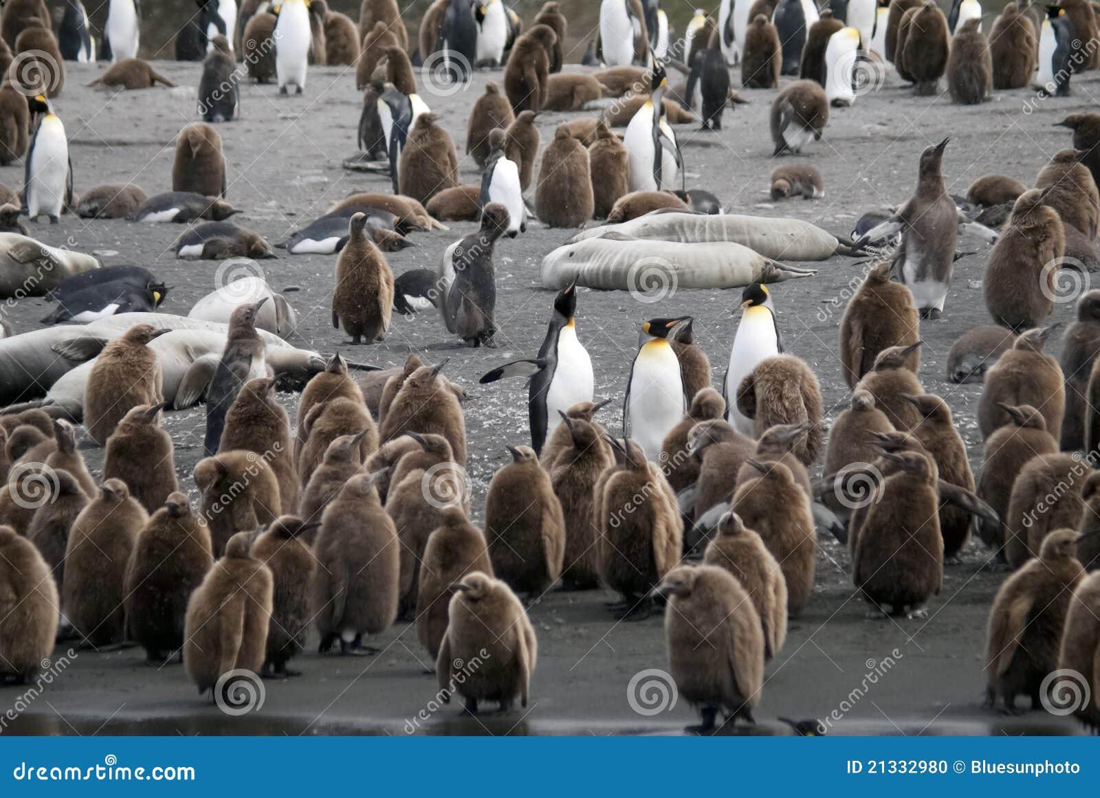 De Kolonie van de Pinguïn van de koning