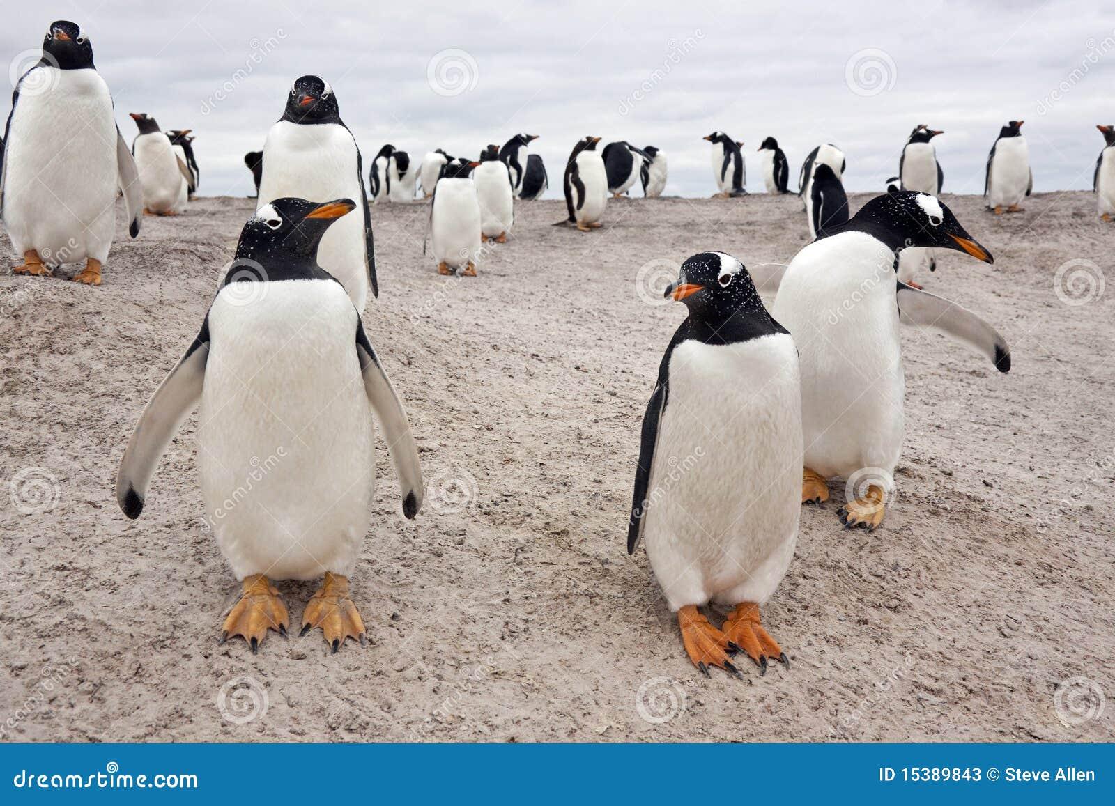 De Kolonie van de Pinguïn van Gentoo - Falkland Eilanden