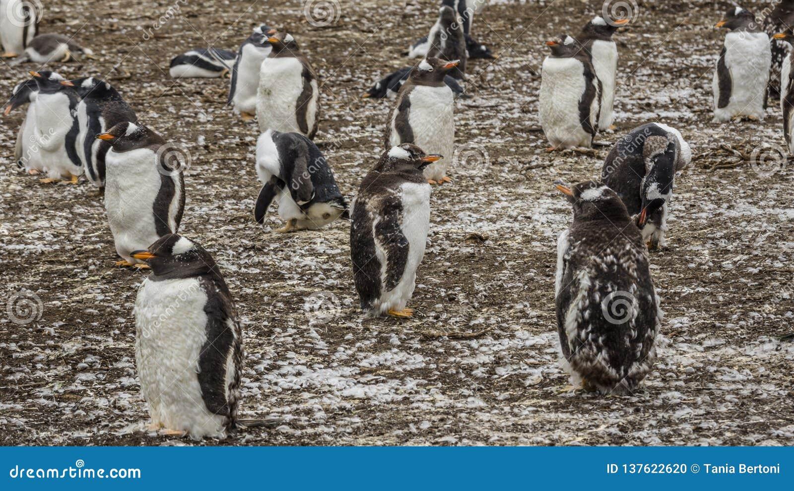 De Kolonie van Gentoopinguïnen op de Eilanden van de Falkland Eilanden