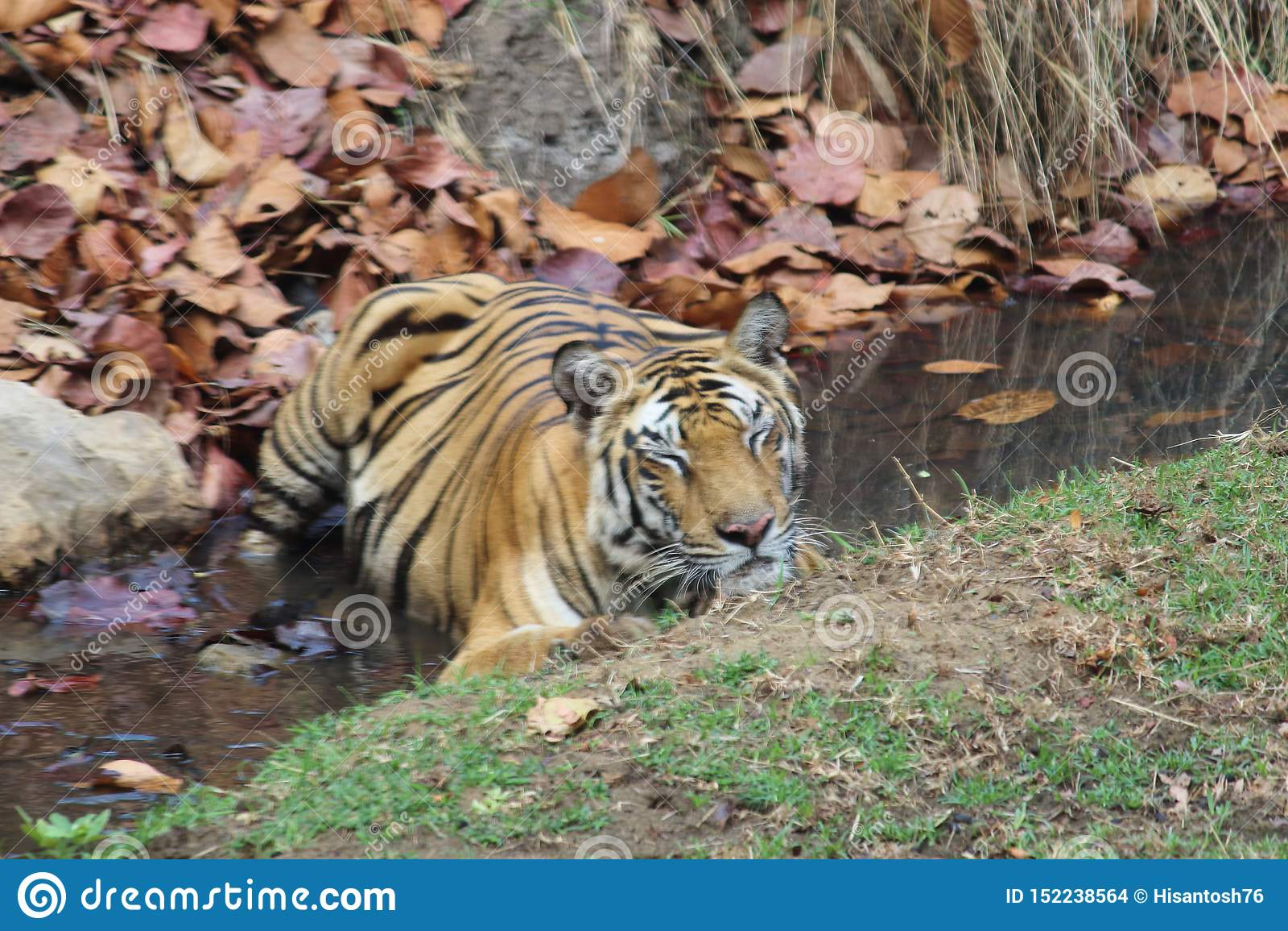 De koningin van tijgerinnen solo 'van de wildernis die in een stroom rust